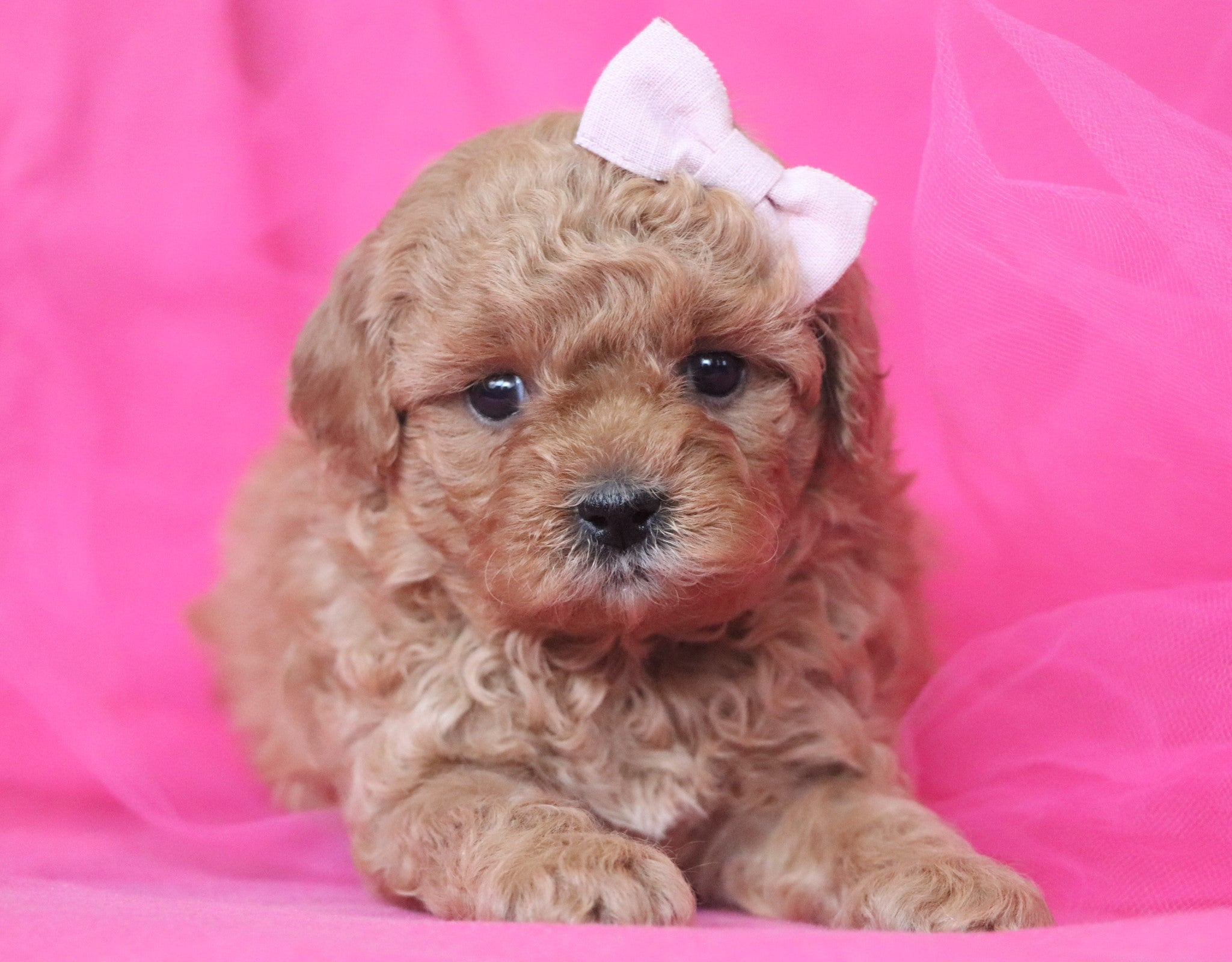*RESERVED*Lola Female Teacup Forever Puppy