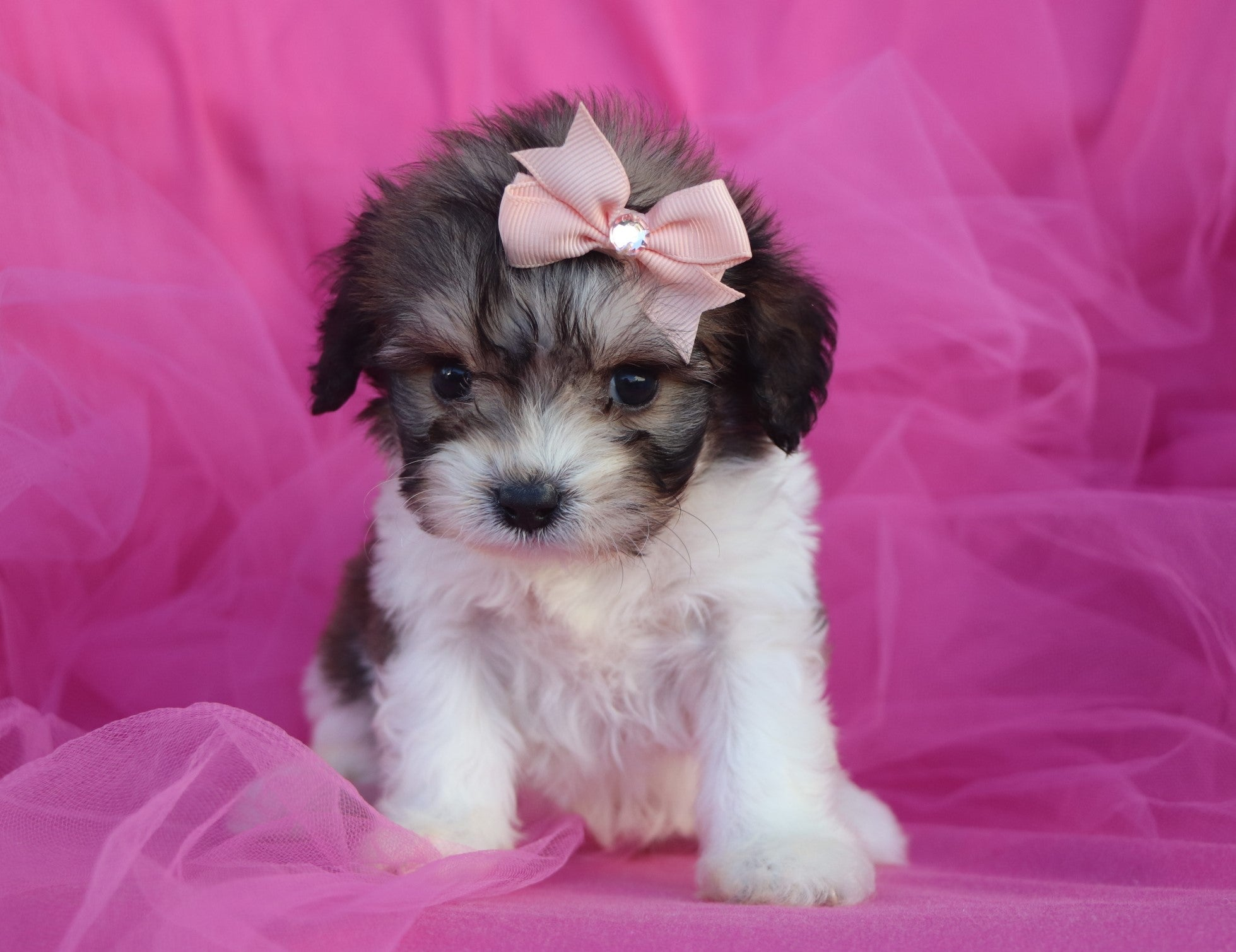 *RESERVED* Merry Female Cavachon Puppy
