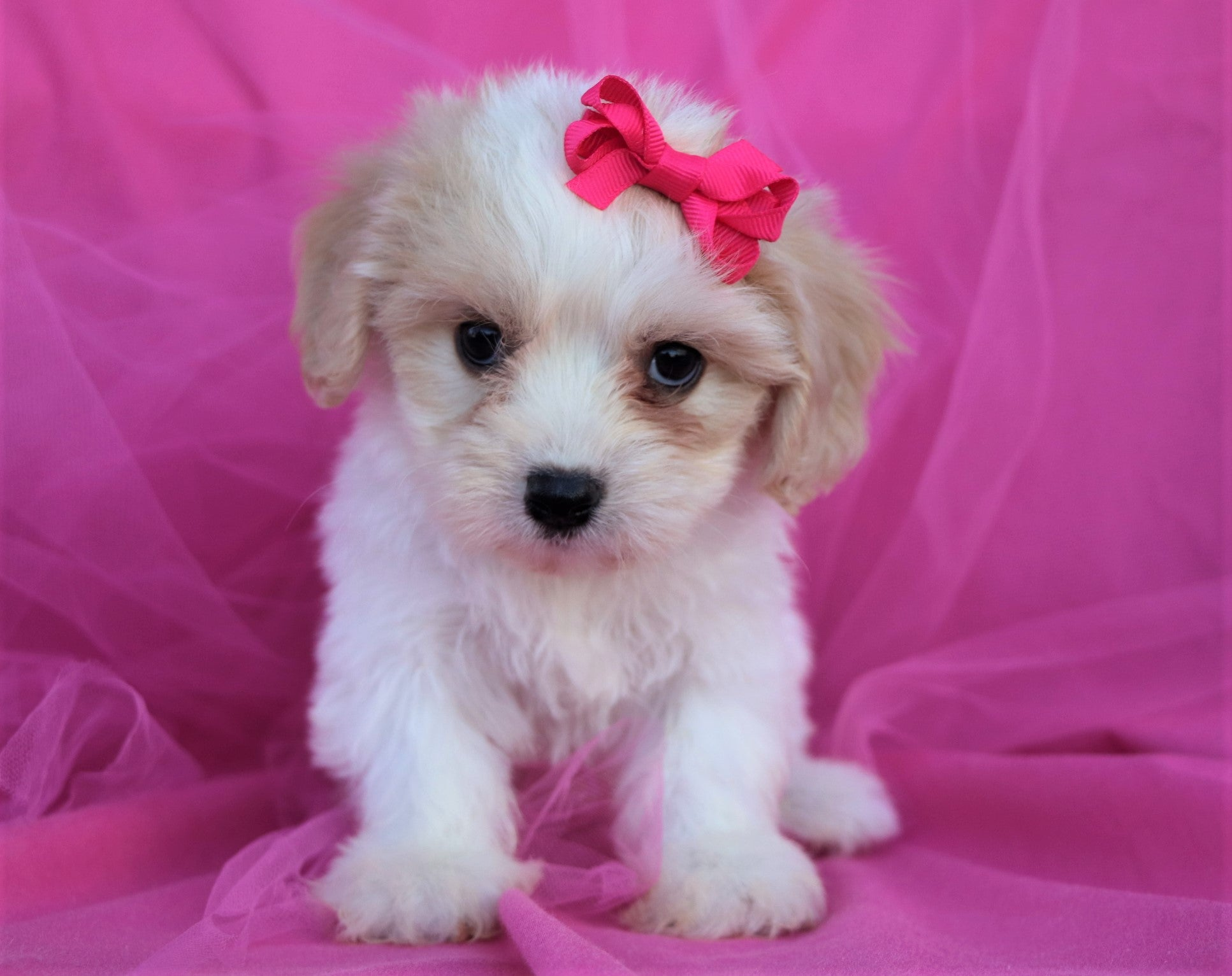 *RESERVED*Ribbon Female Cavachon Puppy