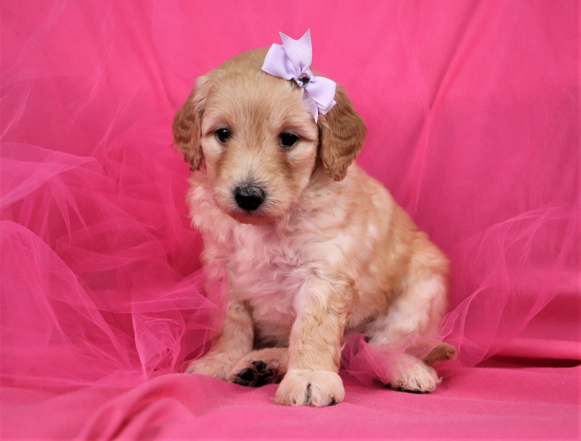Myrtle Female F1B Mini Goldendoodle Puppy