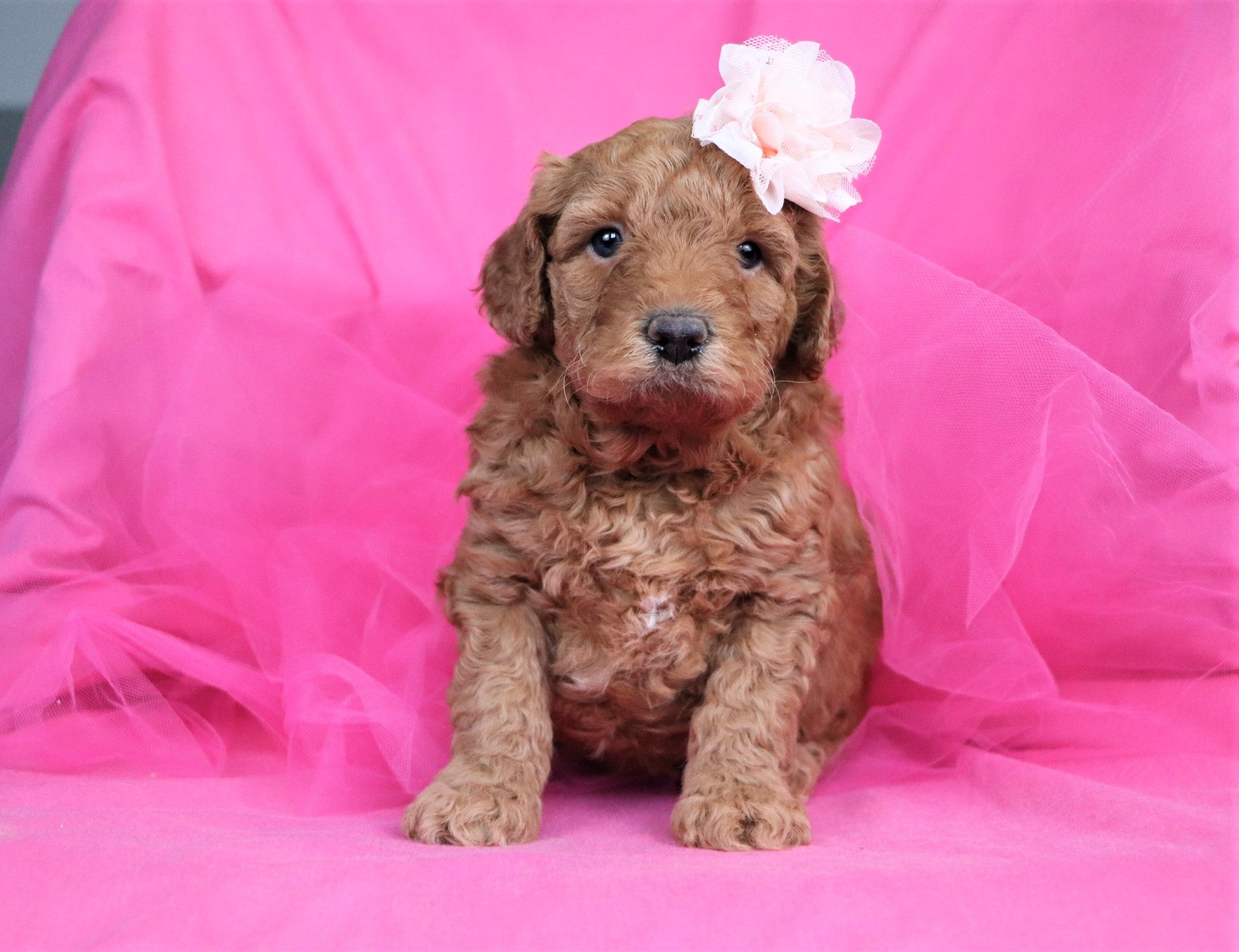 Paulina Female F1B Mini Goldendoodle Puppy