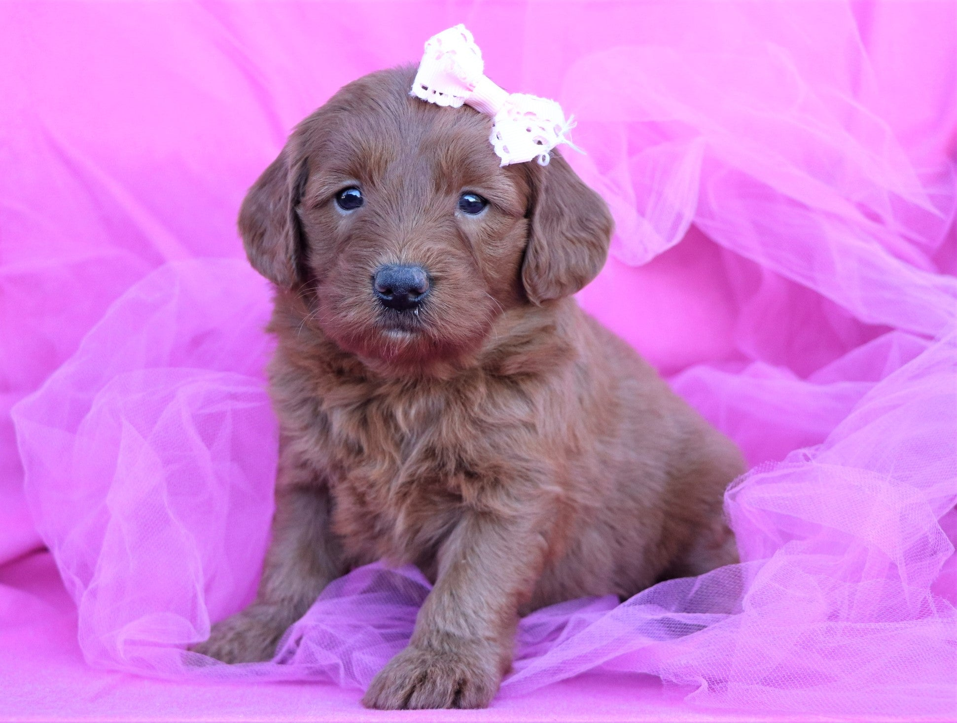 *RESERVED* Jolene Female F2 Mini Goldendoodle Puppy*