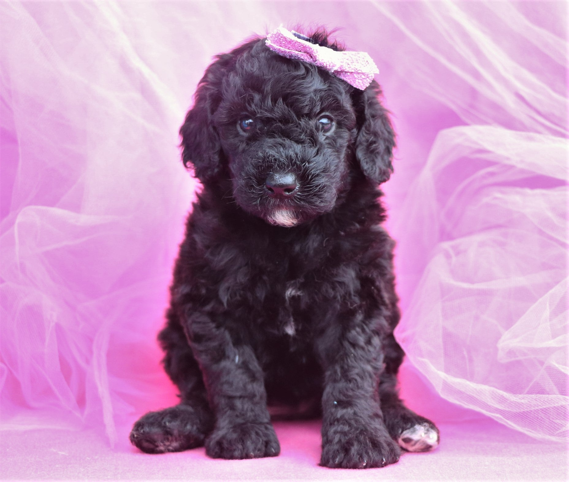 *RESERVED* Hummingbird Female F1B Sheepadoodle Puppy