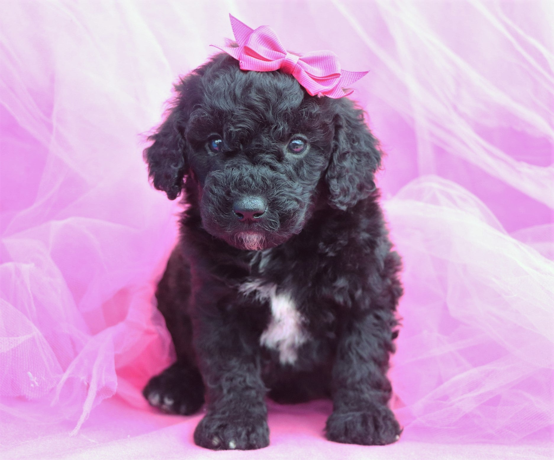 Nightingale Female F1B Sheepadoodle Puppy*