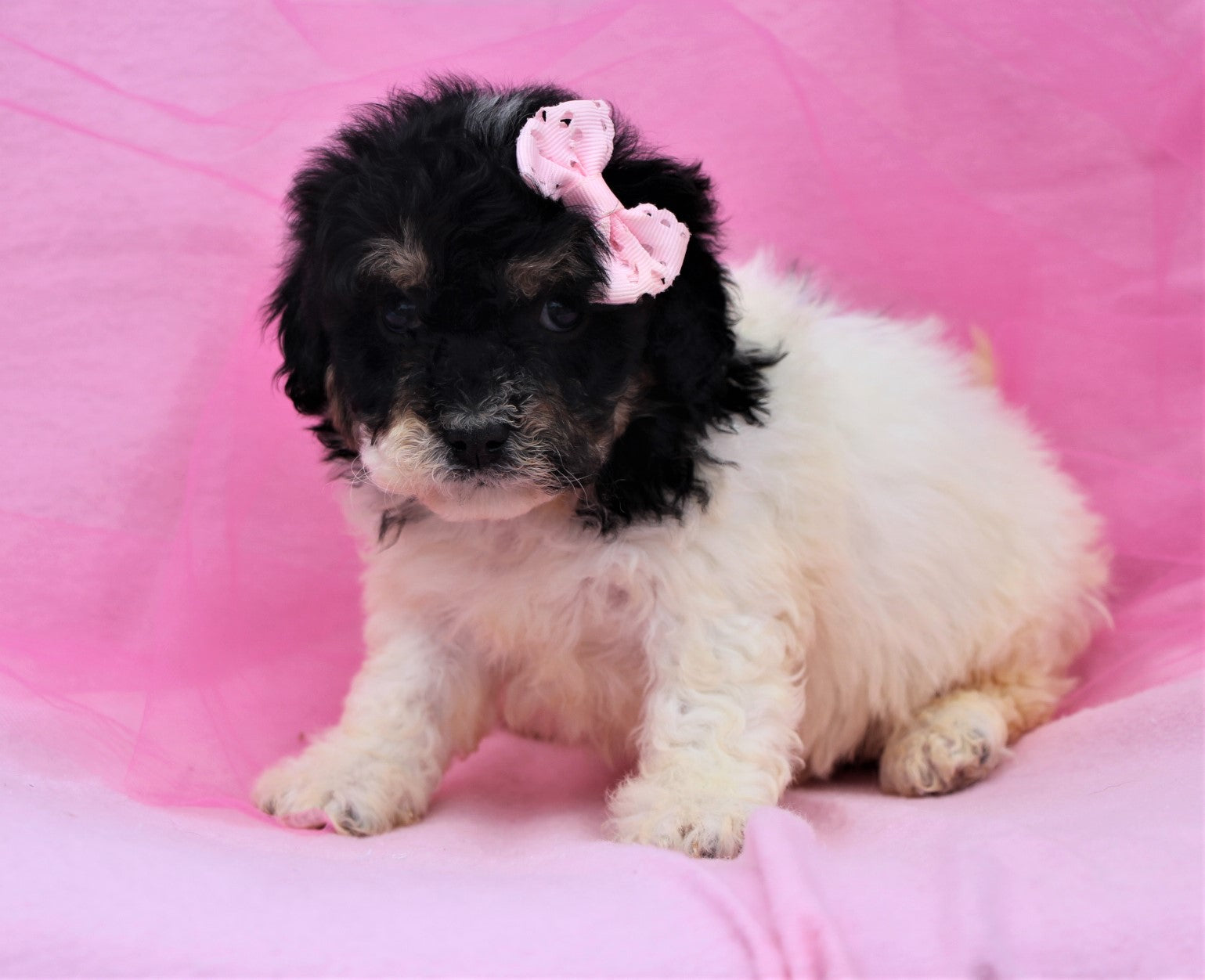 *RESERVED* November Female Teddy Bear Puppy*