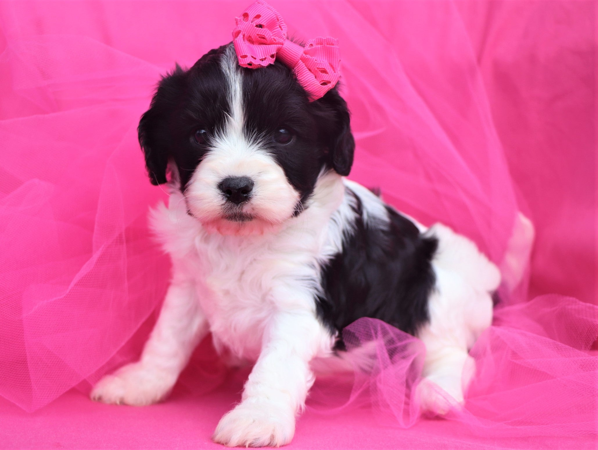 *RESERVED* Joan Female Cavachon Puppy*