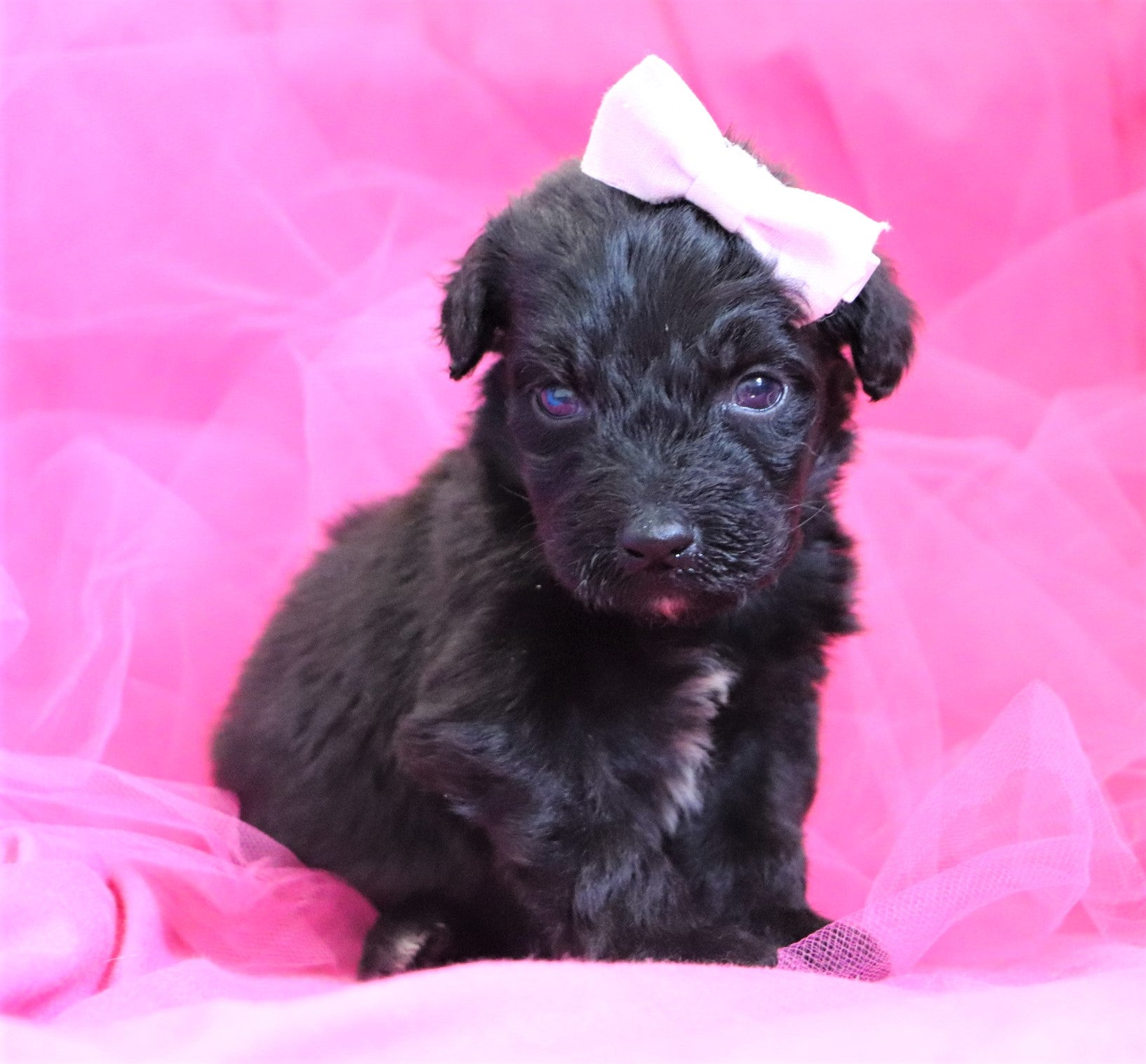 Sienna Female F1B Mini Aussiedoodle Puppy*