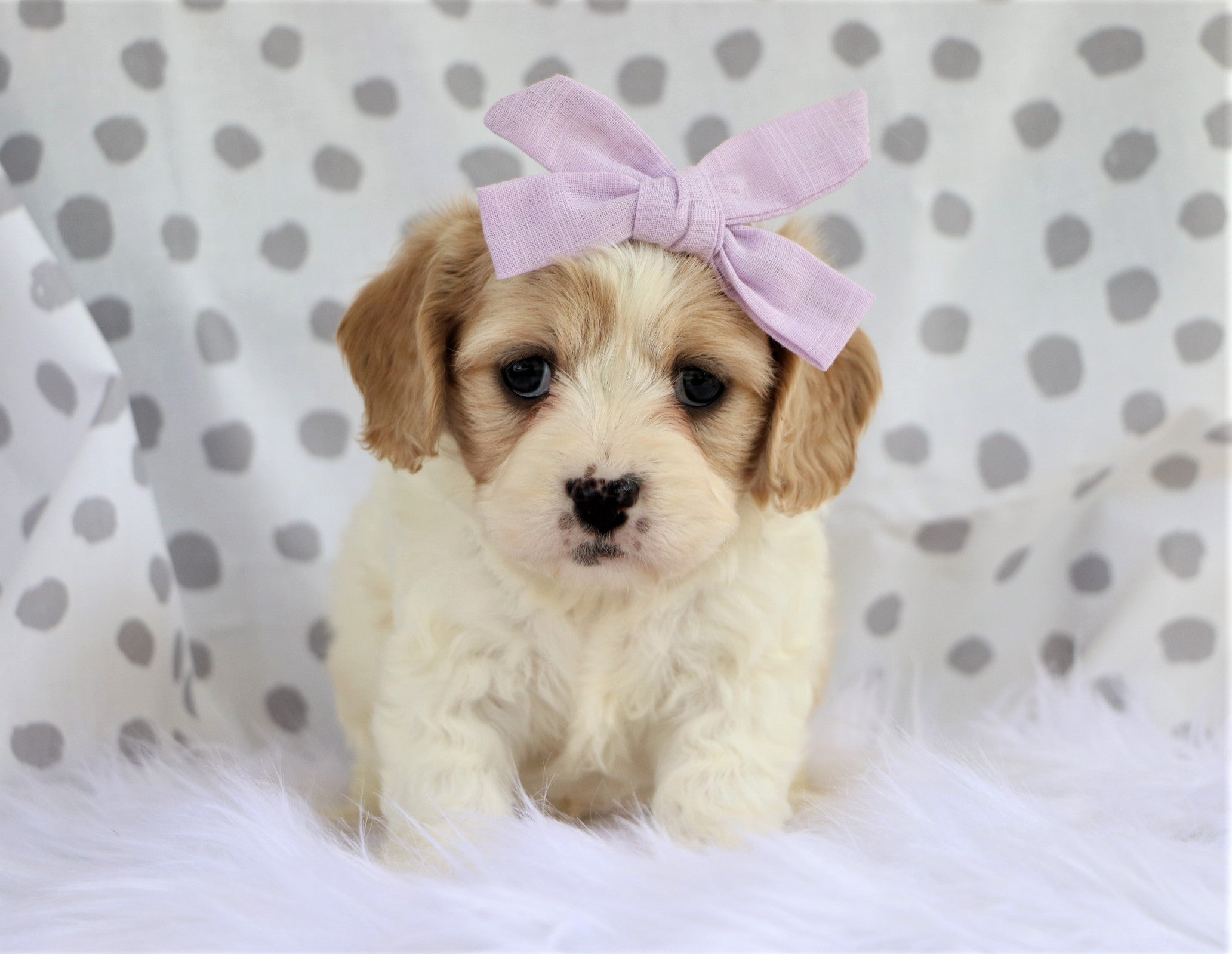 Hootley Female Cavachon Puppy*