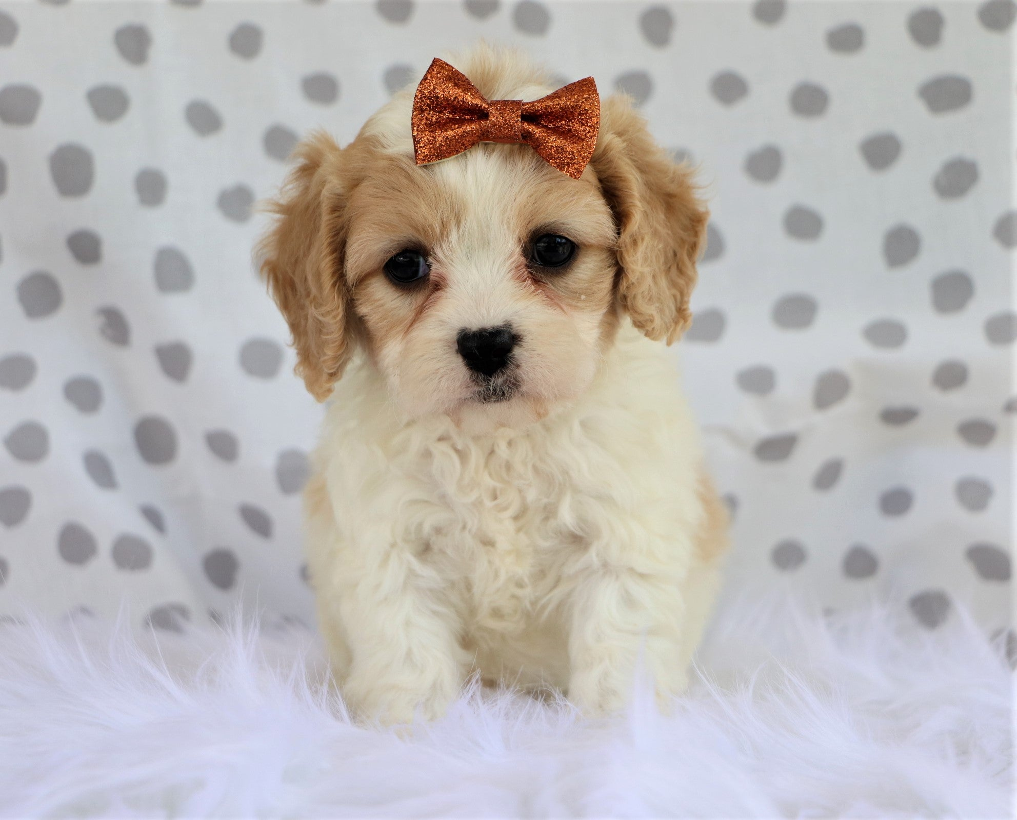 Jennifer Female Cavachon puppy*