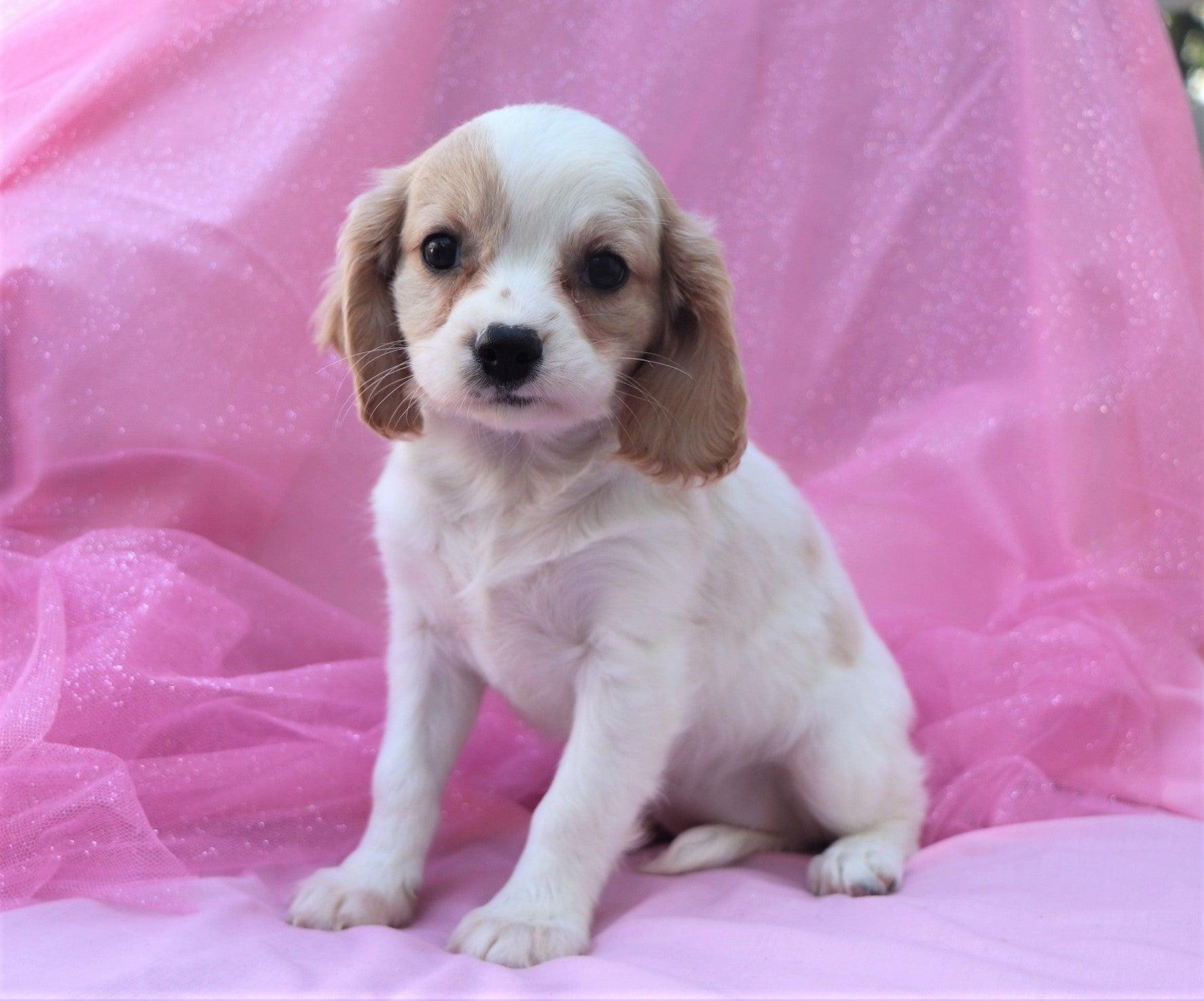 *RESERVED*Adina Female F1B Cavachon Puppy*