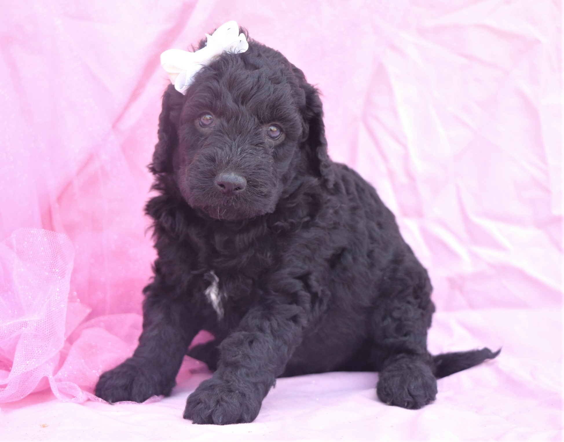 *RESERVED* Cheerio Female F1B Mini Goldendoodle Puppy*
