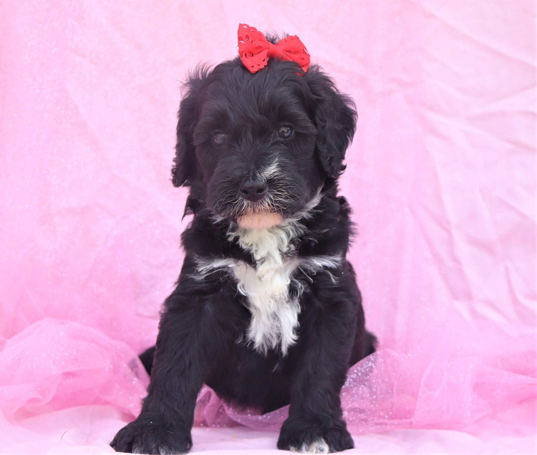 *RESERVED* Charlotte Female F1B Mini Bernedoodle Puppy