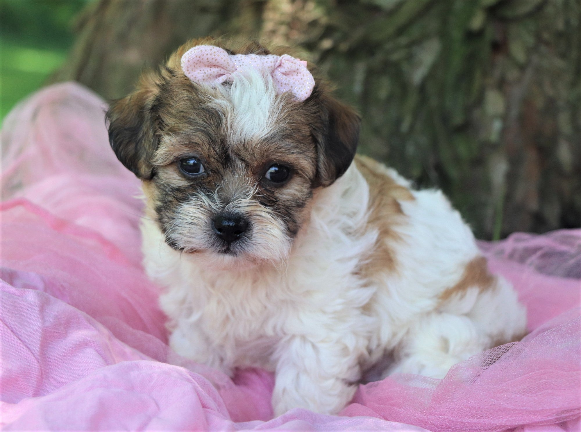 *RESERVED* Chickpea Female Teacup Teddy Bear Puppy