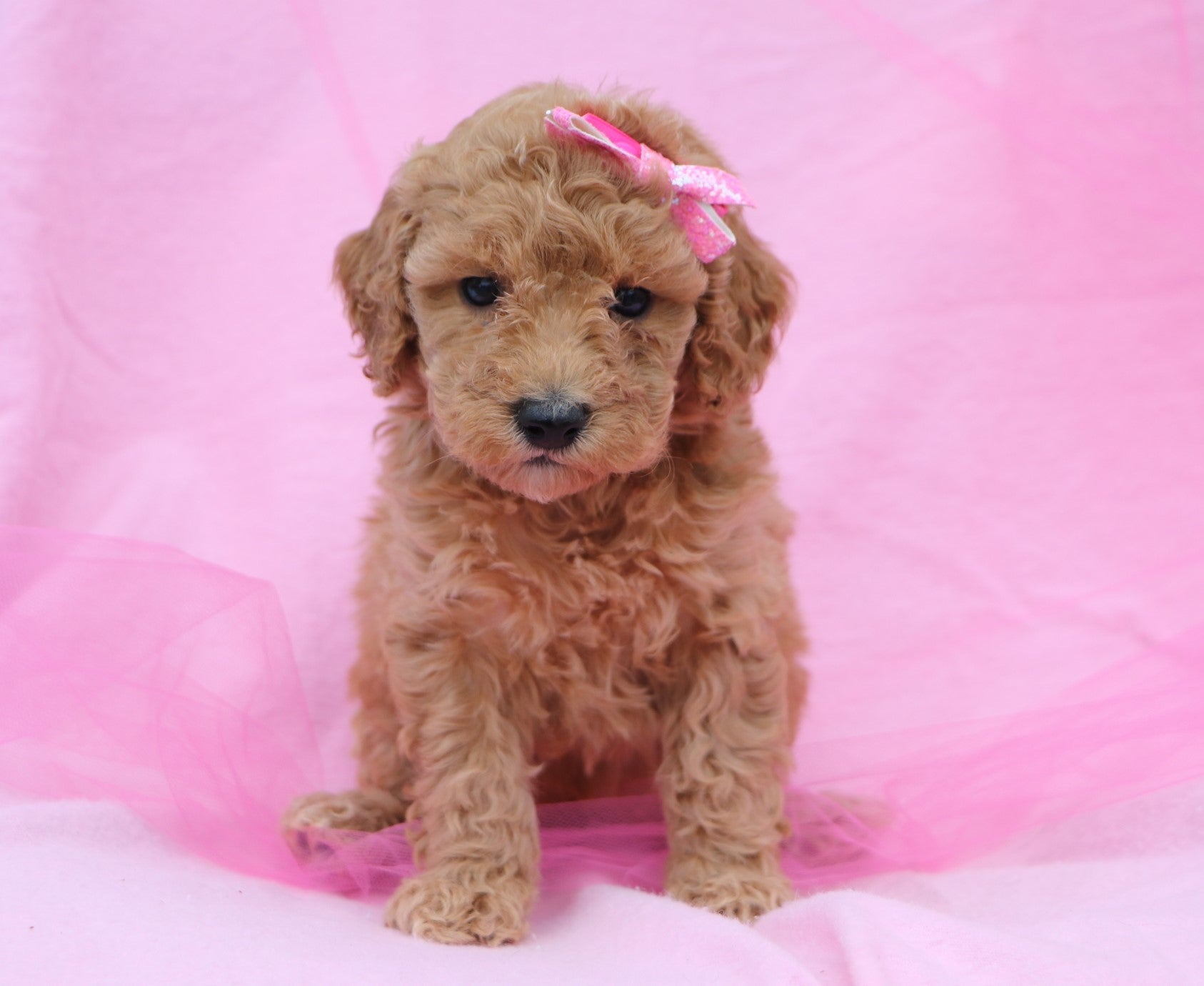*RESERVED* Pocus Female F2 Mini Goldendoodle Puppy