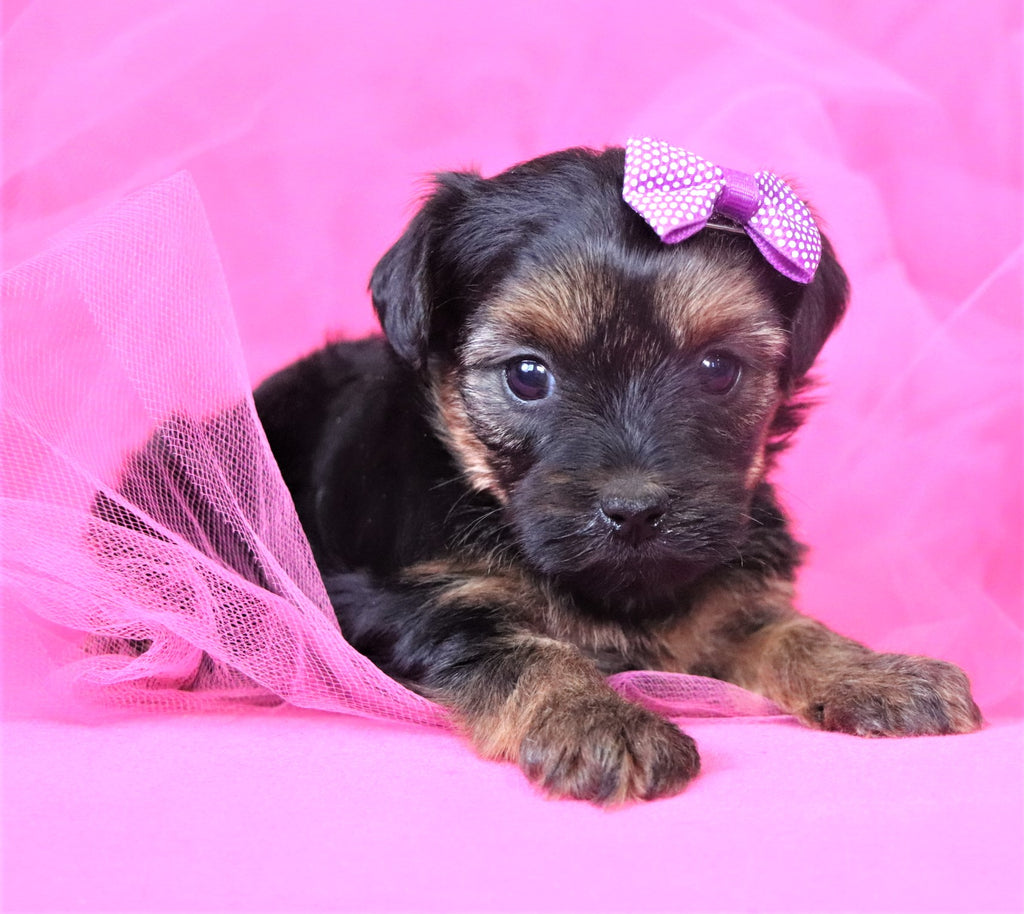 Noodle Female Teacup Yorkipoochon Puppy*