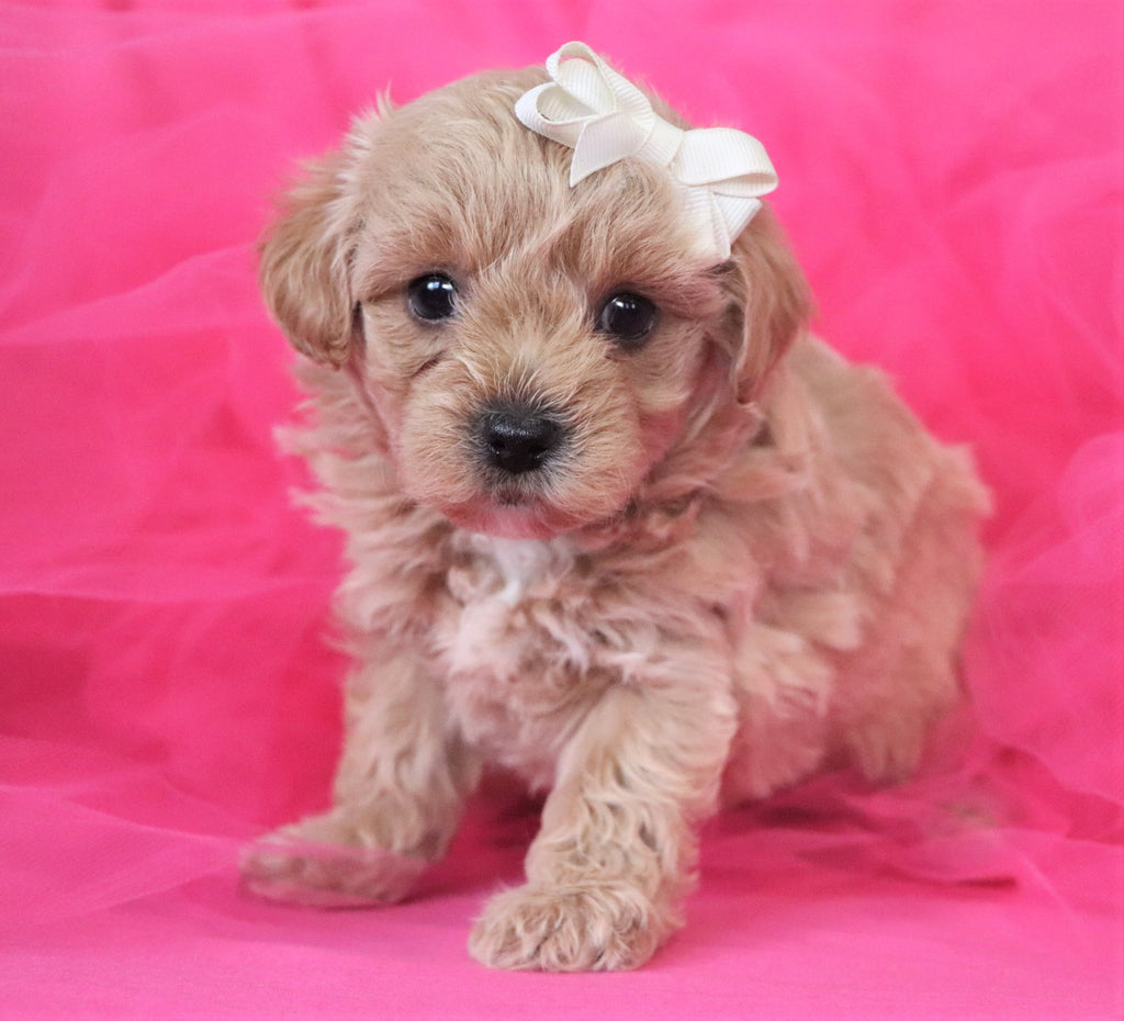 Trixie Female Teacup Morkipoochon Puppy*