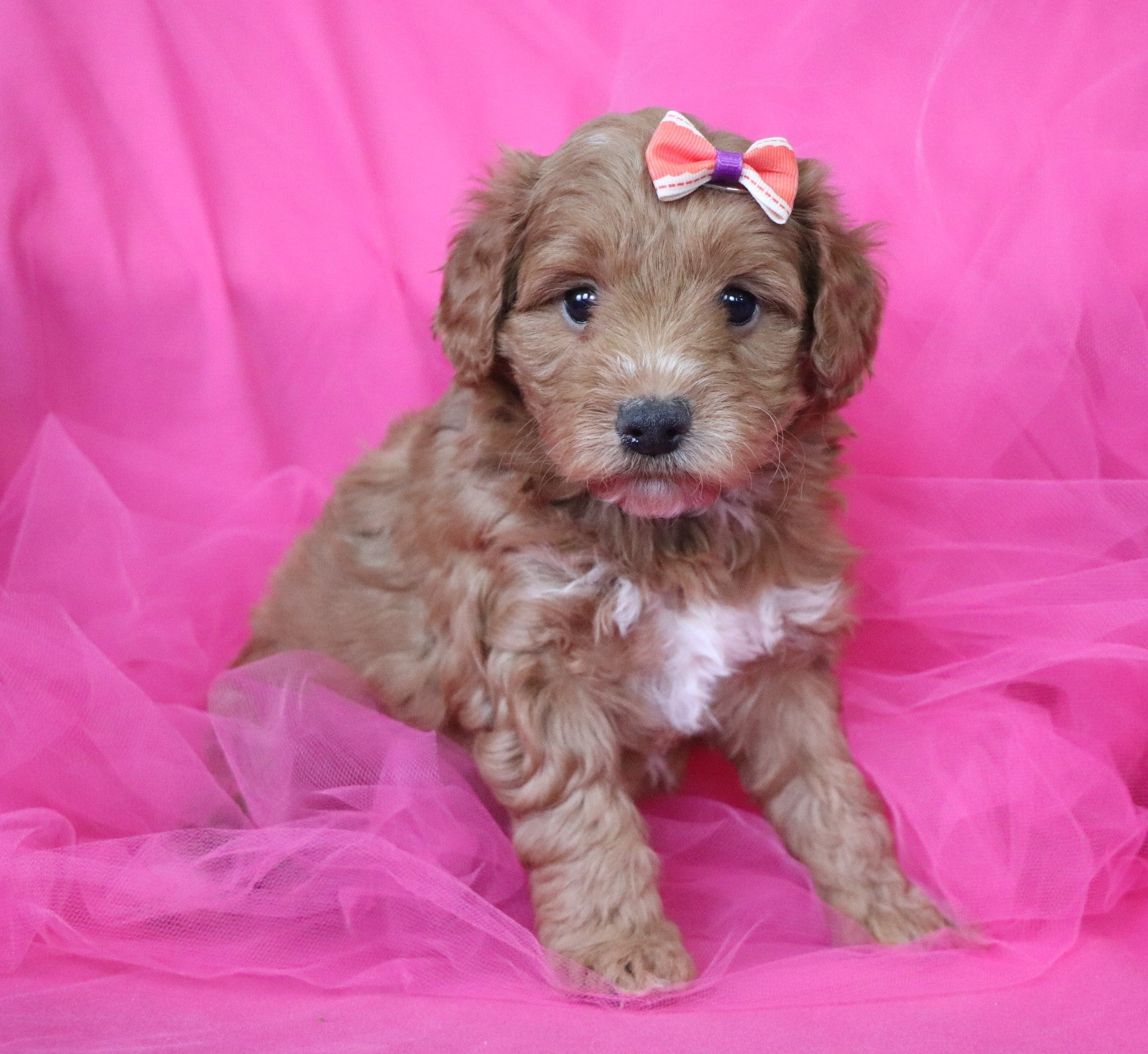 *RESERVED* Athena Female F1B Mini Goldendoodle Puppy*