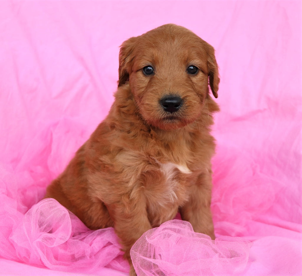 Paris Female Miniature Goldendoodle Puppy