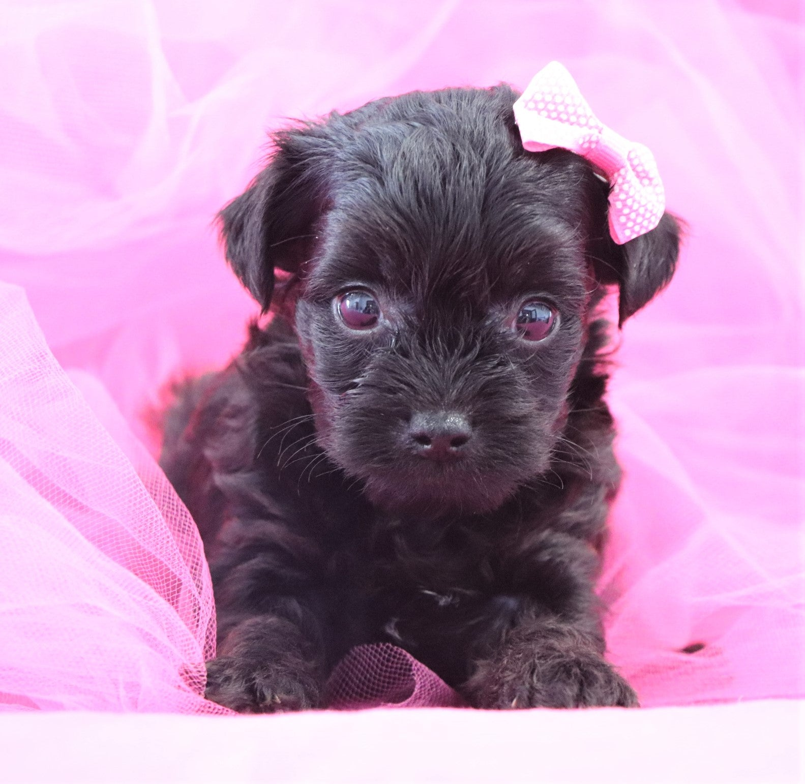 *RESERVED*Rosie Female Teacup Yorkipoochon Puppy*