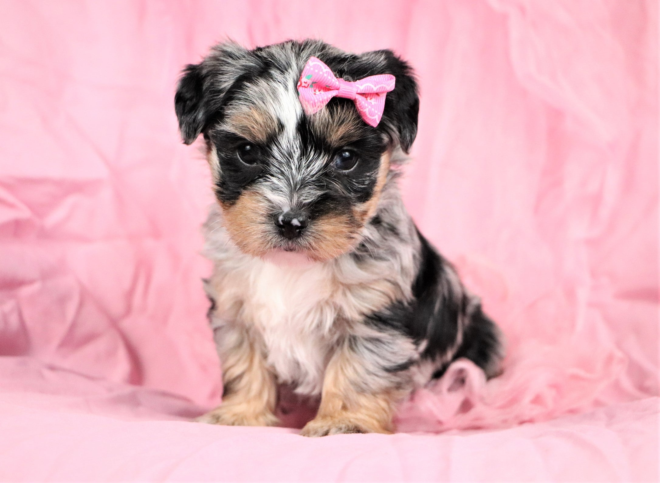 Nani Female Teacup Morkipoochon Puppy*