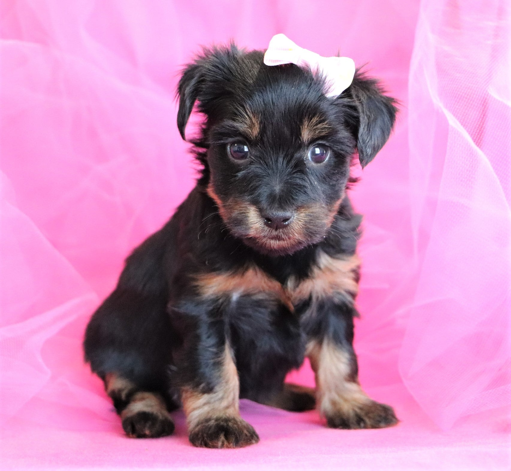 *RESERVED*Sienna Female Yorkipoo Puppy
