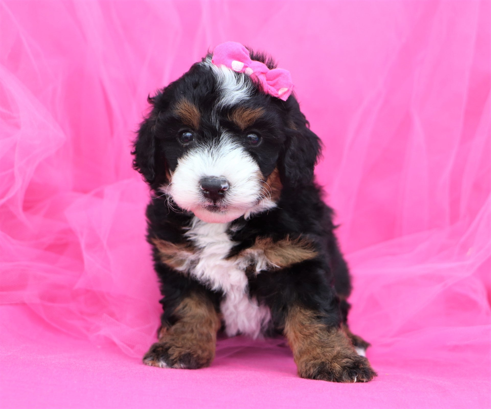 *RESERVED* Fallon Female F2 Mini Bernedoodle Puppy