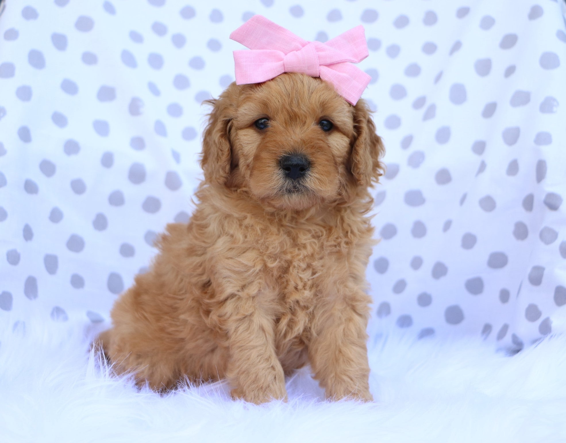 *RESERVED* Kennedy Female F1B Mini Goldendoodle Puppy