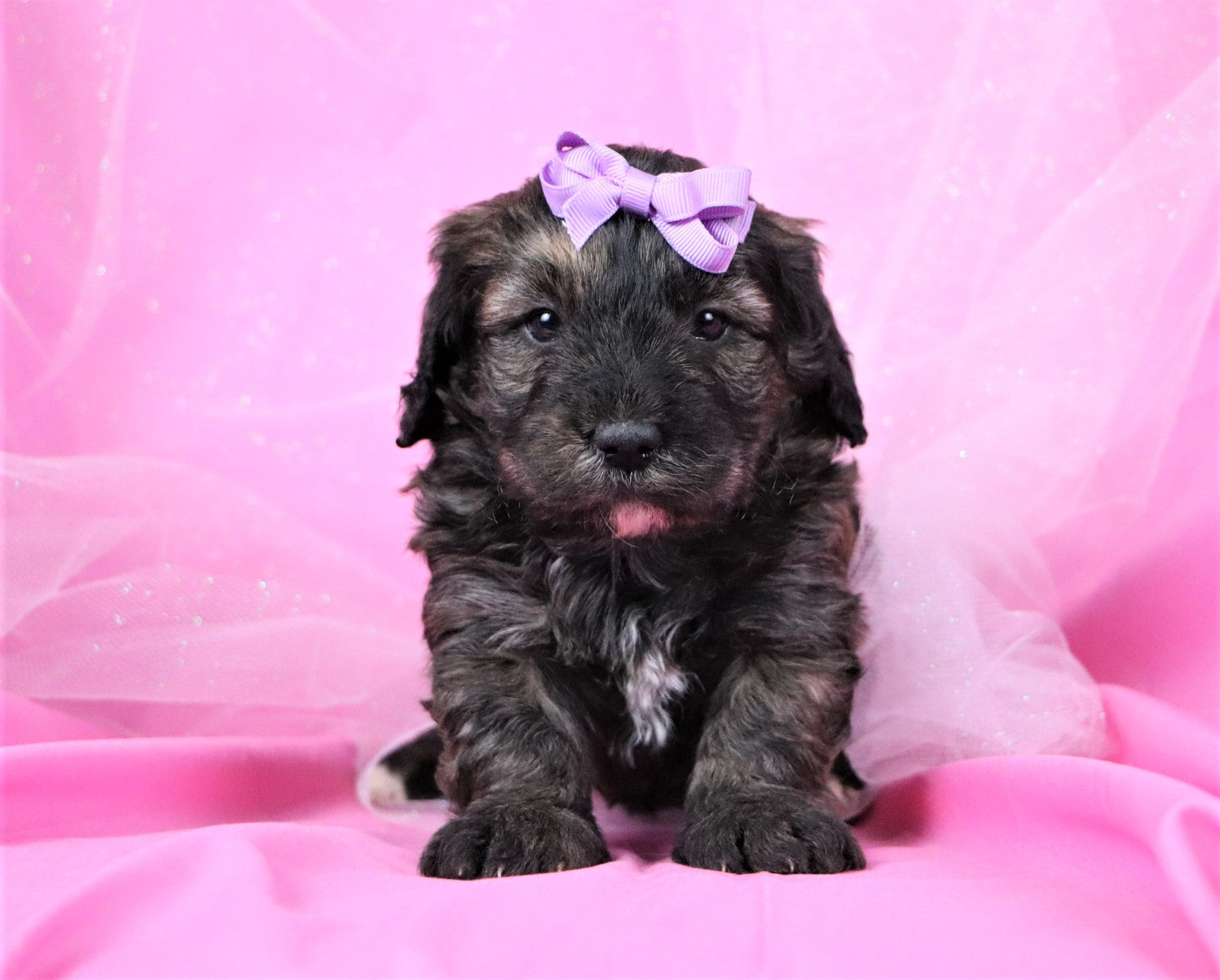 Patty Female F2 Mini Bernedoodle Puppy*