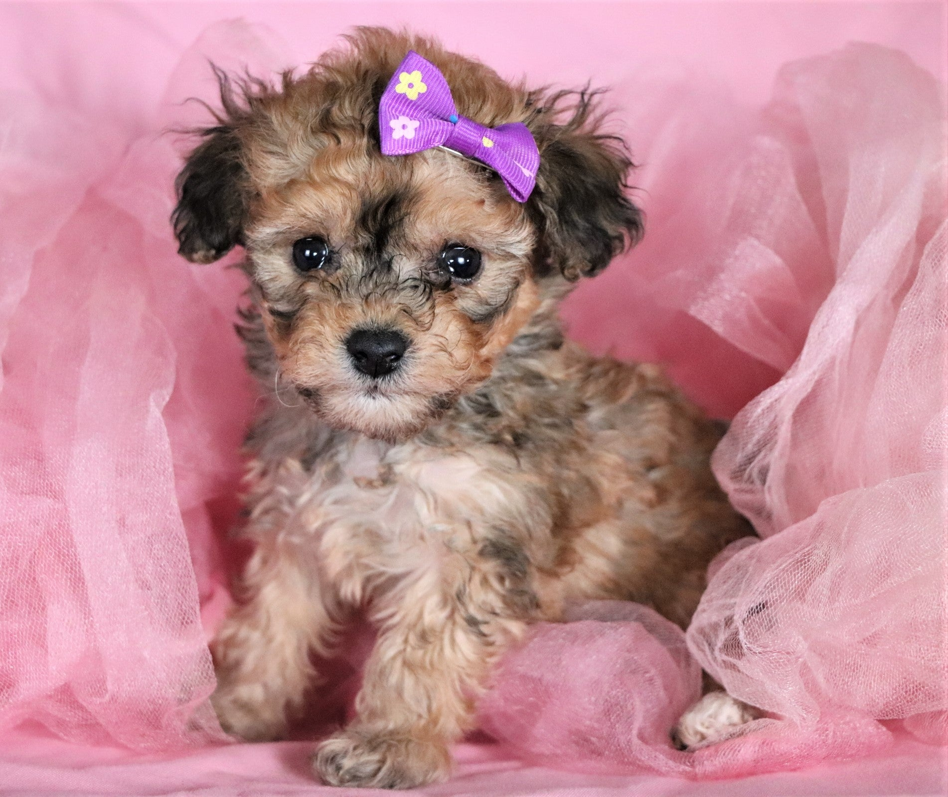 Lena Female Teacup F1B Bichpoo Puppy