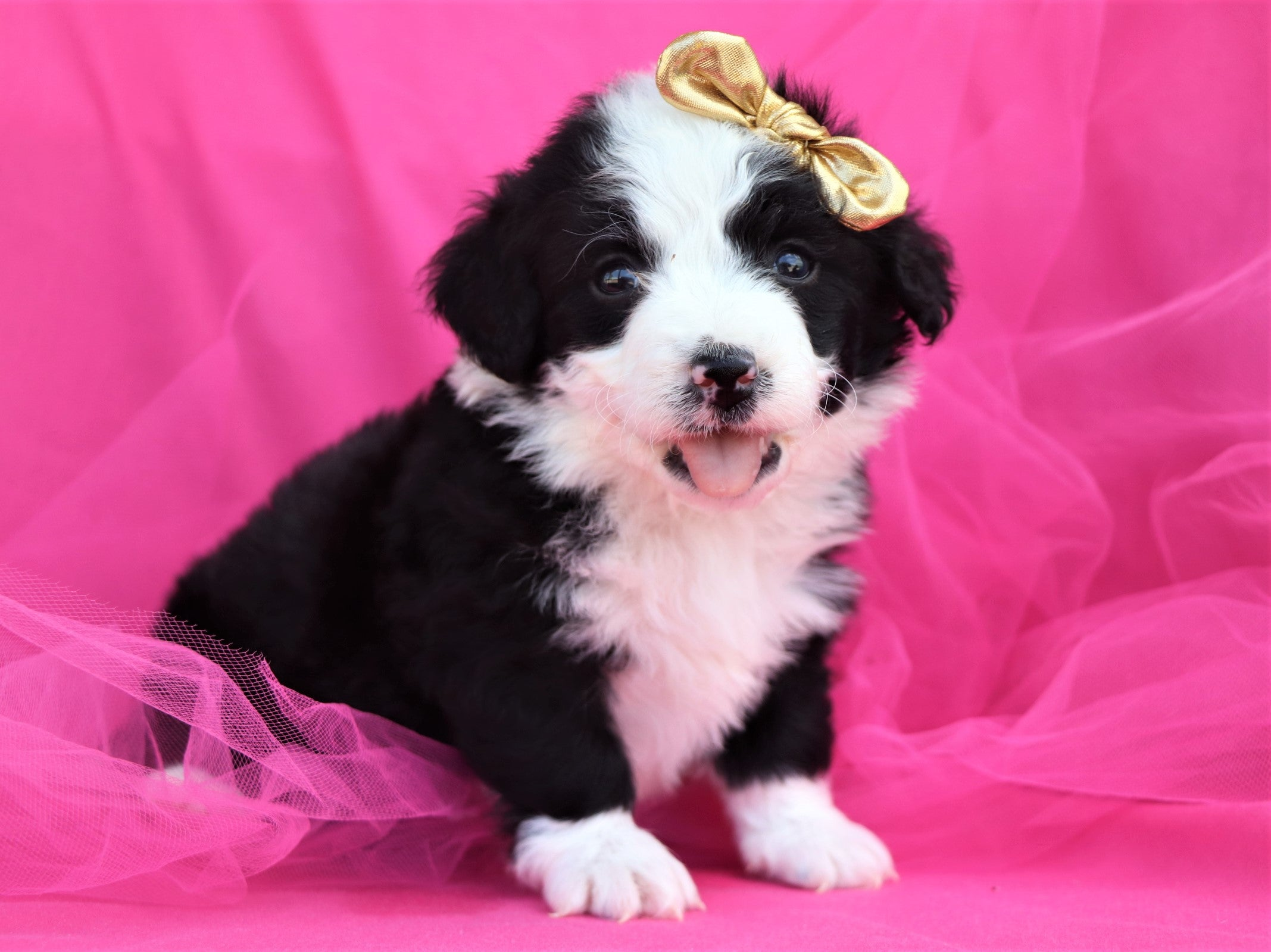 *RESERVED*Jewel Female F2 Mini Bernedoodle Puppy*