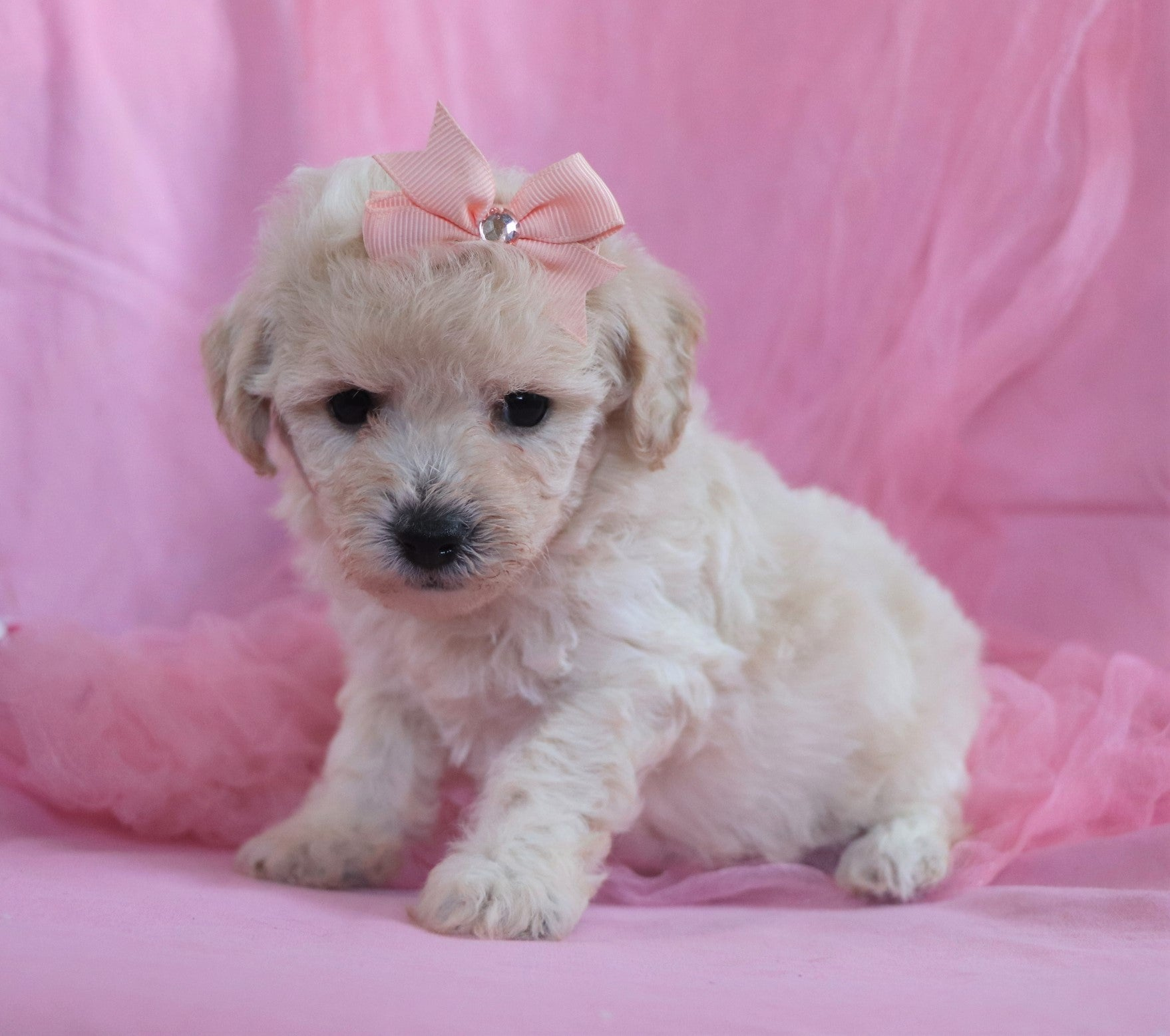 *RESERVED*Kimberly Female Bichpoo Puppy