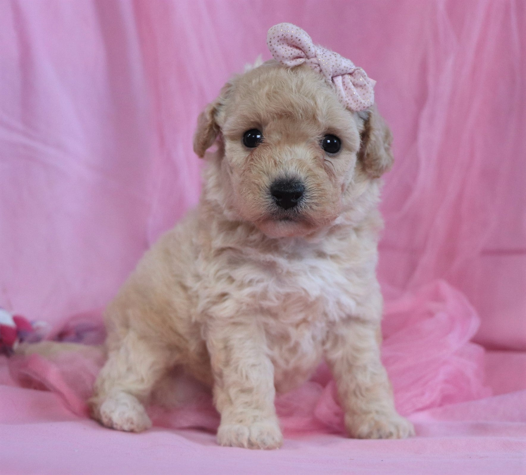 *RESERVED* Kasey Female Bichpoo Puppy*
