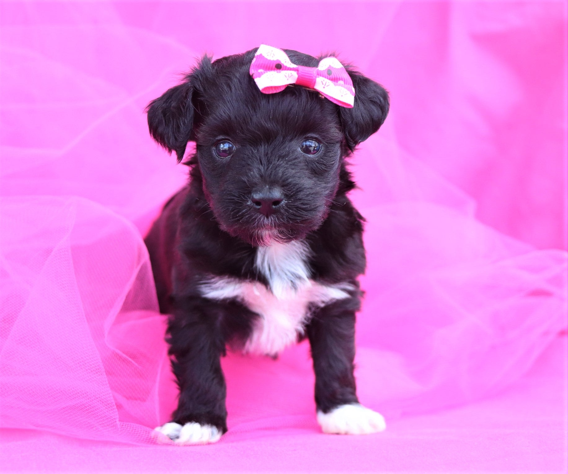 *RESERVED* Moana Female Yorkipoochon Puppy*