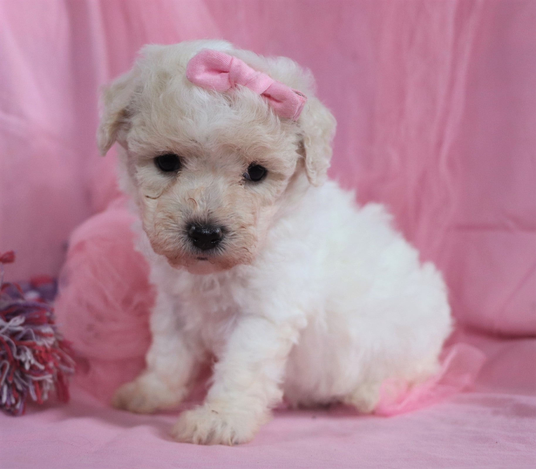 Kelsey Female Bichpoo Puppy*