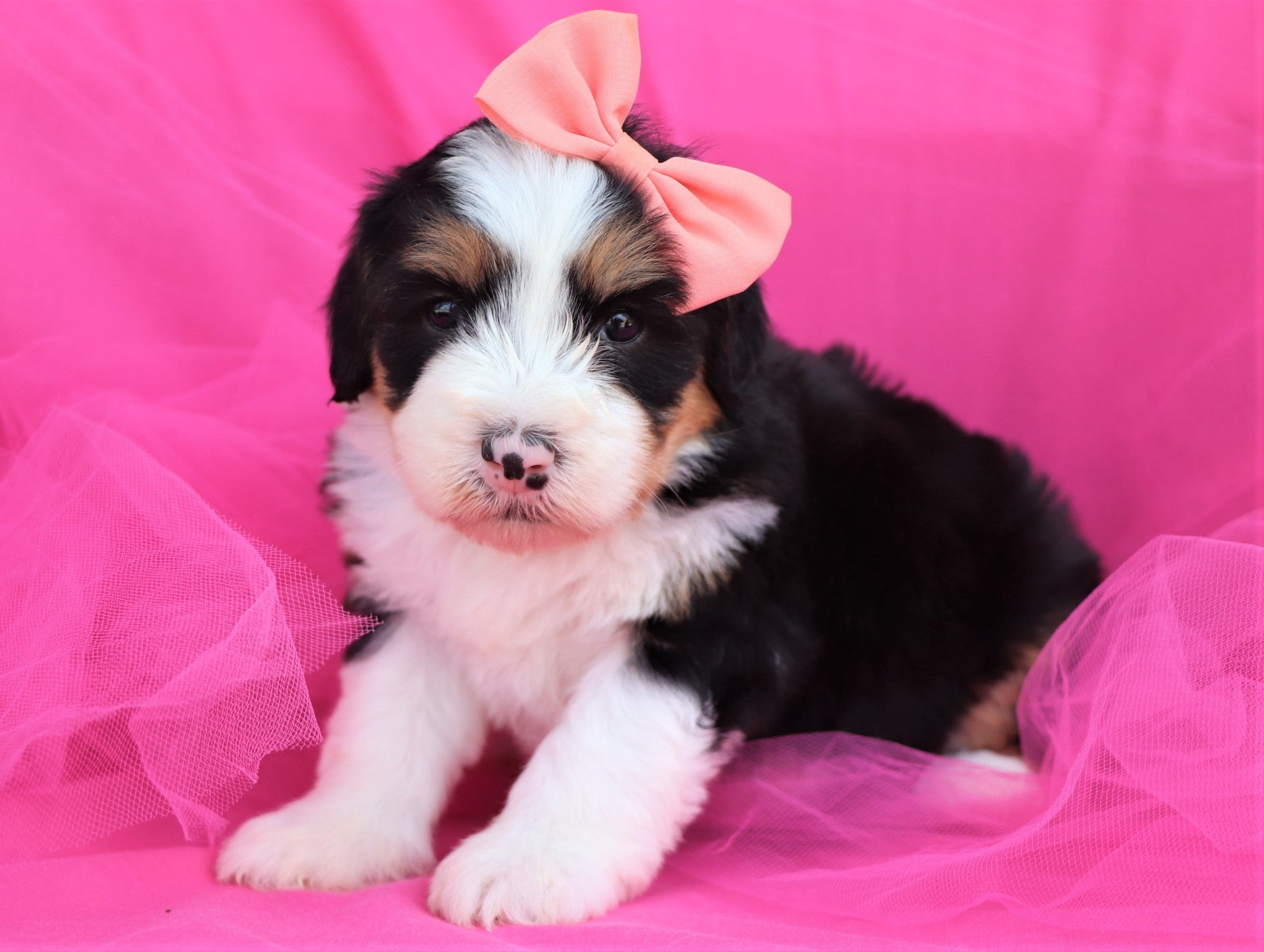 *RESERVED* Nebula Female F2 Mini Bernedoodle Puppy