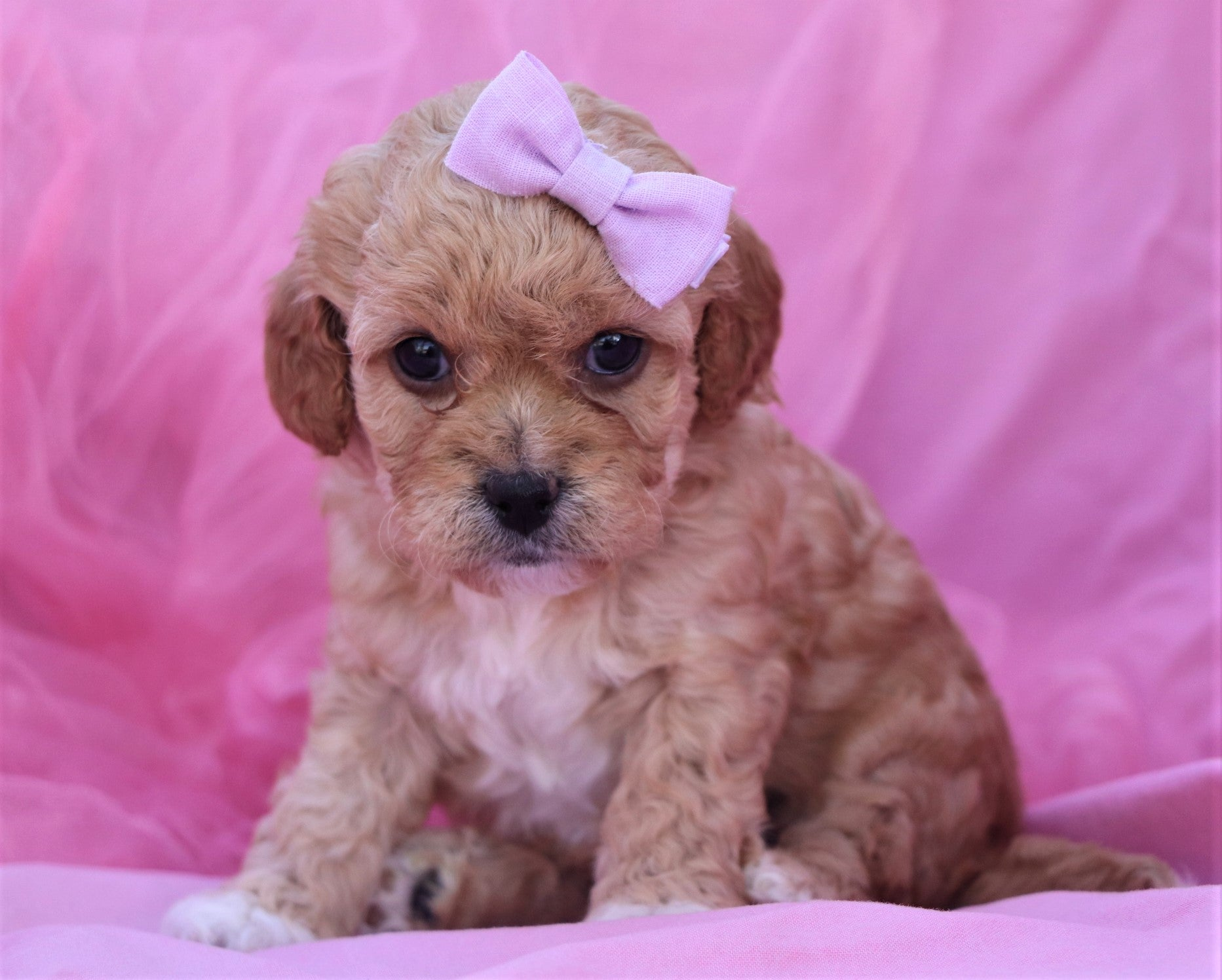 *RESERVED*Osiris Female F1B Cavapoo Puppy*