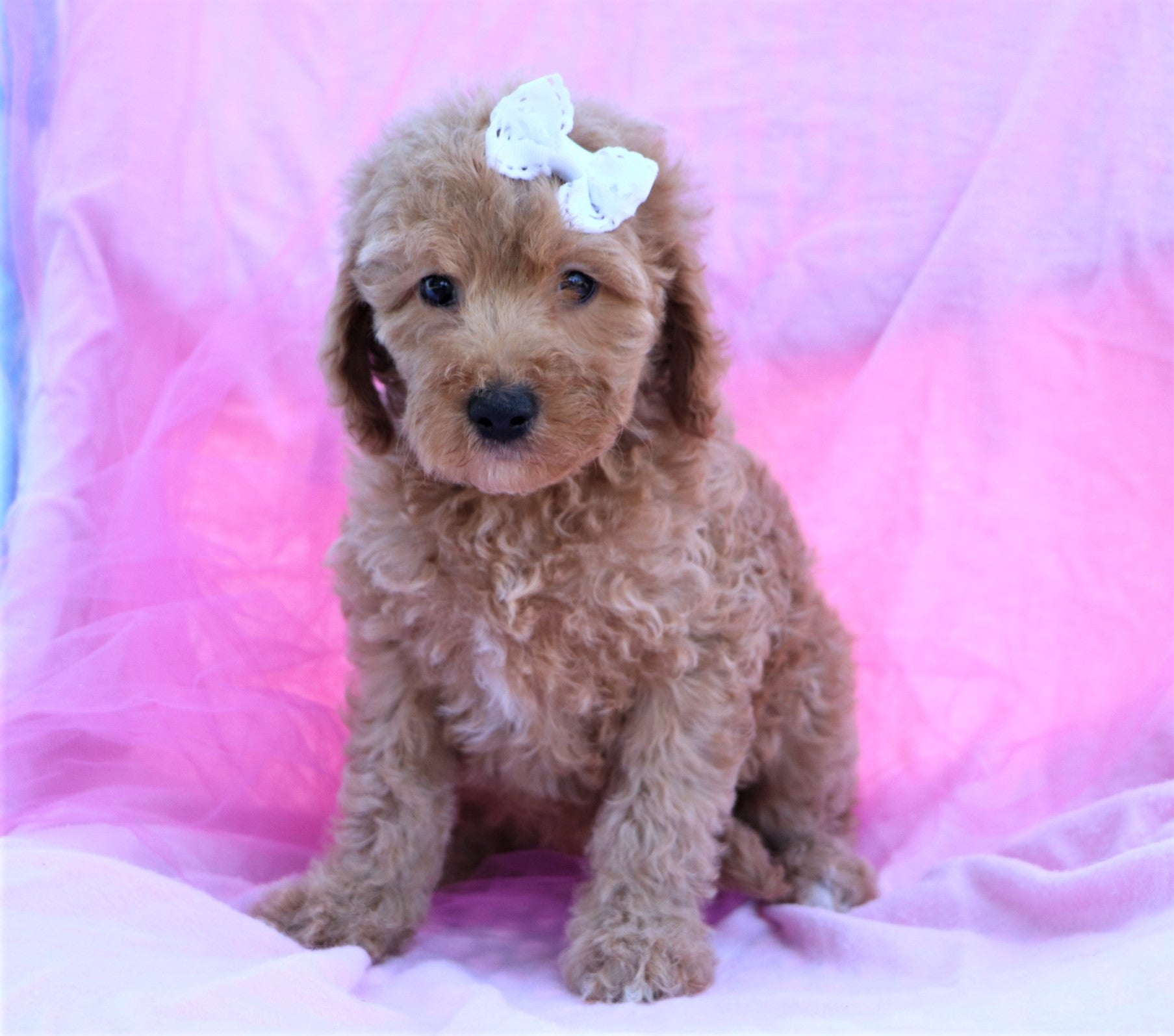 *RESERVED* Koala Female F2 Mini Goldendoodle Puppy*