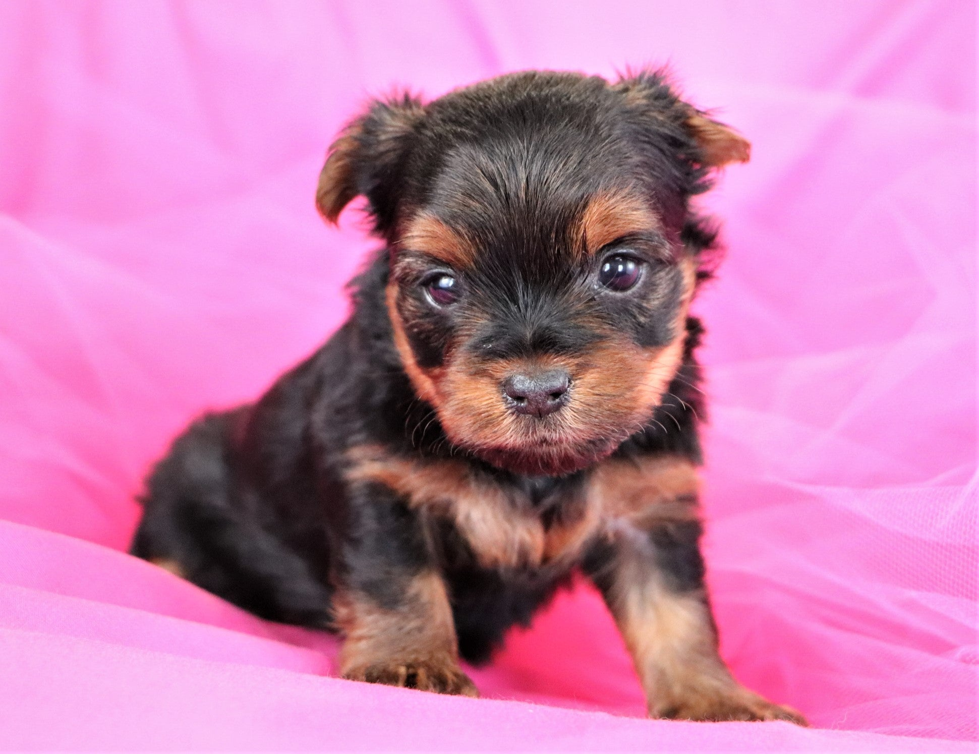 *RESERVED*Tinker Bell Female Teacup Yorkie Puppy*