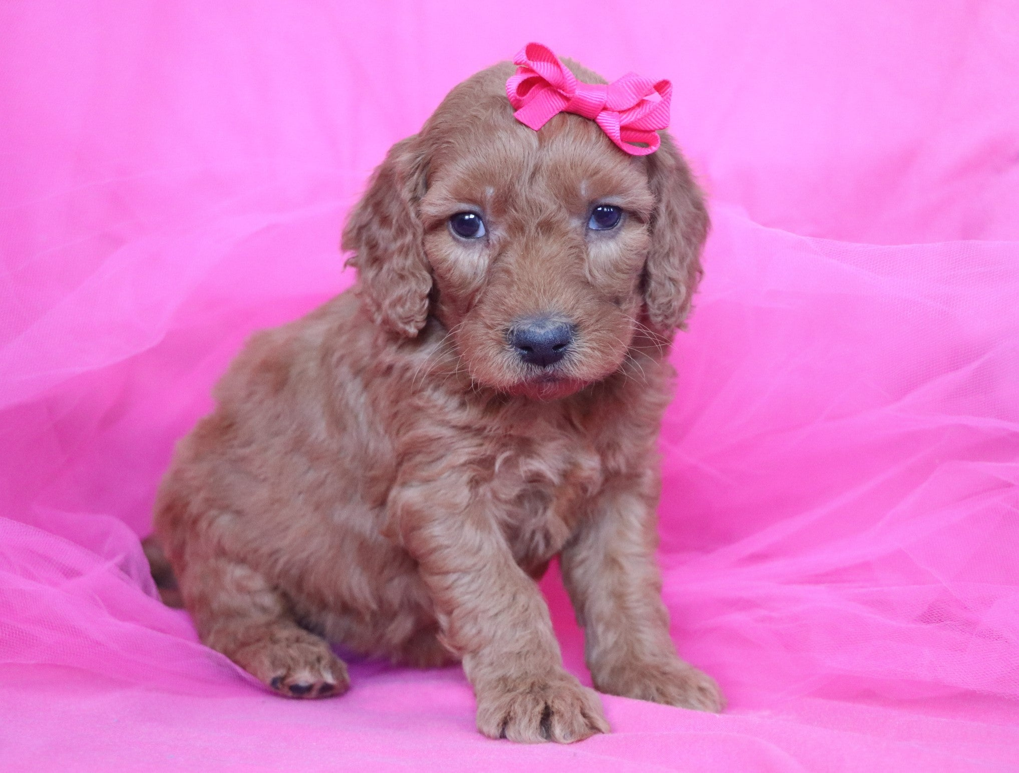 *RESERVED* Macaroon Female F1B Mini Goldendoodle Puppy