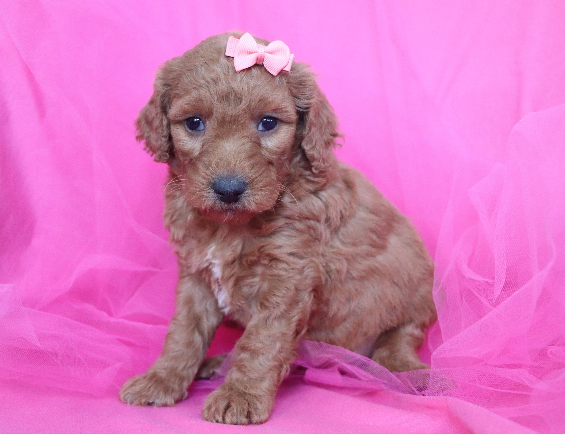 *RESERVED* Snickerdoodle Female F1B Mini Goldendoodle Puppy