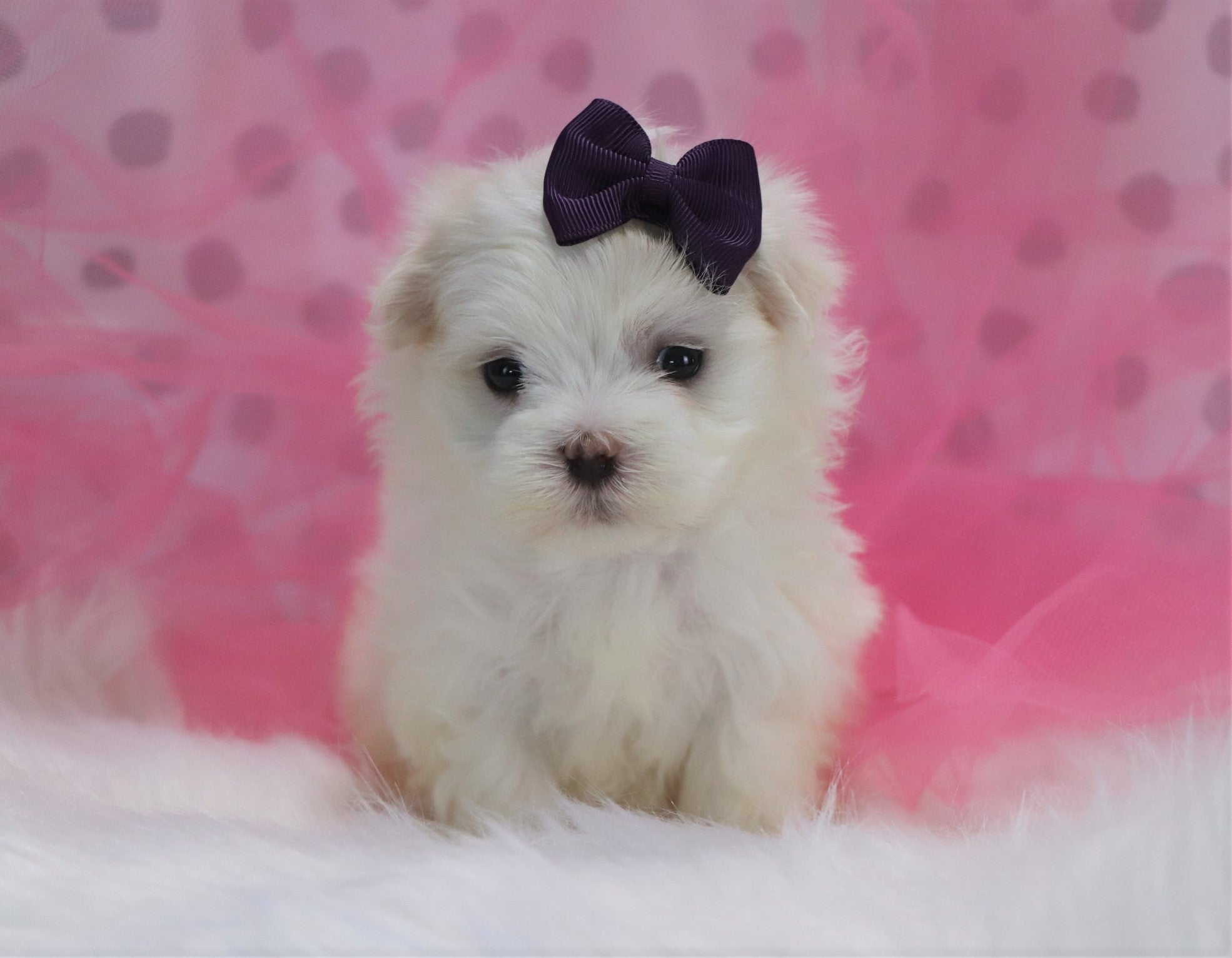 June Female Teacup Maltese Puppy*