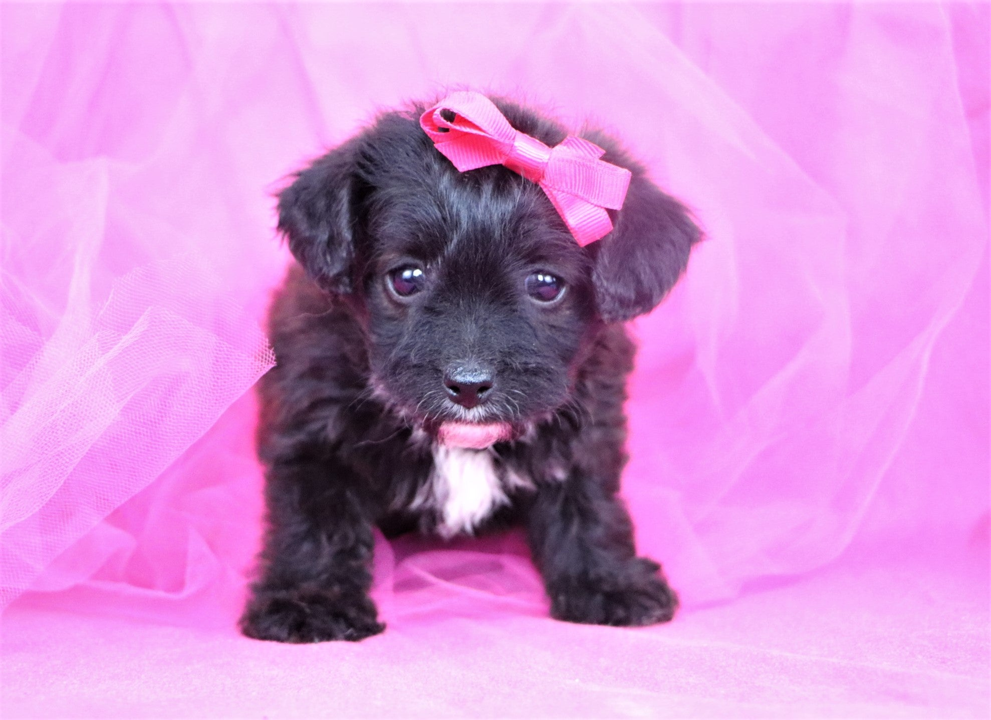 *RESERVED* Ophelia Female Yorkiepoo Puppy