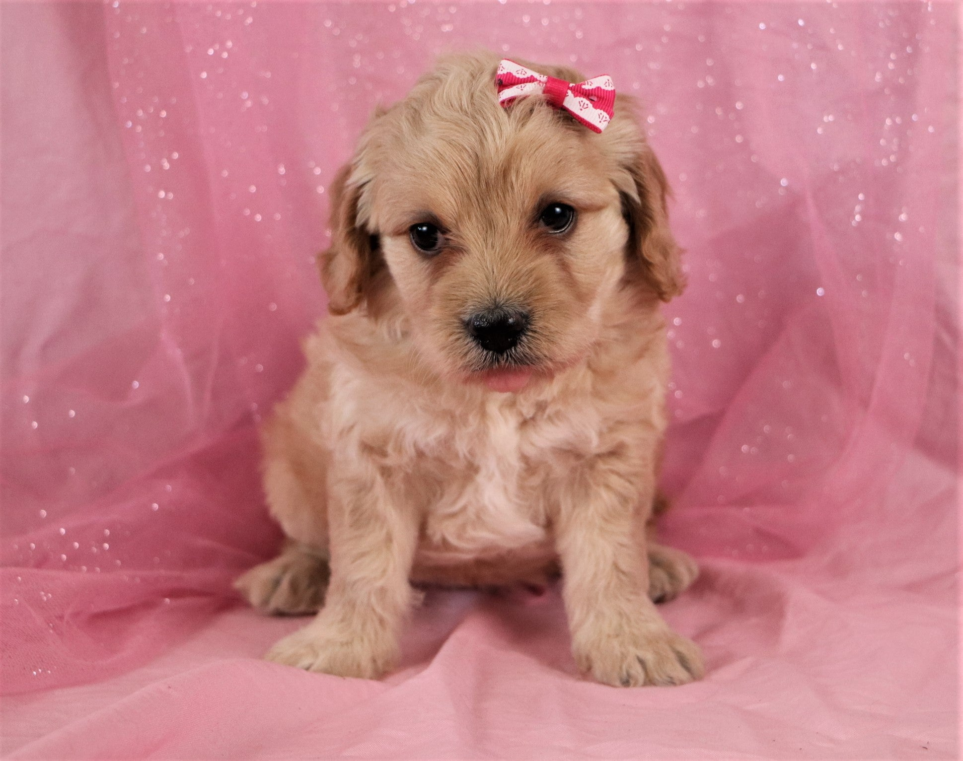 *RESERVED* Lemon Female F1B Labradoodle Puppy