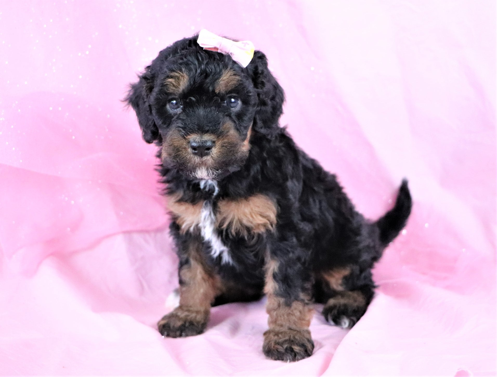 *RESERVED*Lydia Female F1B Bernedoodle Puppy