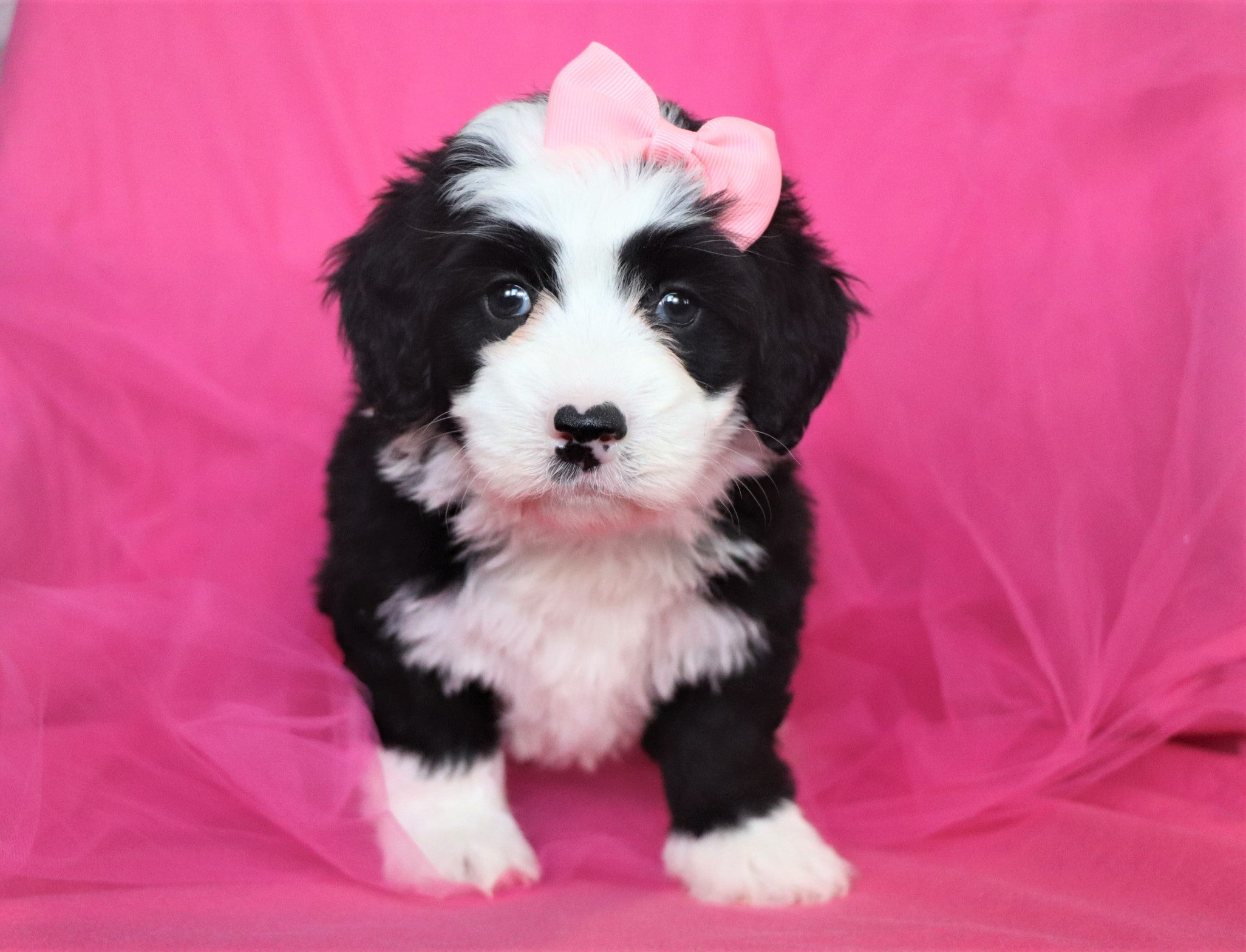 Vanessa Female F2 Mini Bernedoodle Puppy