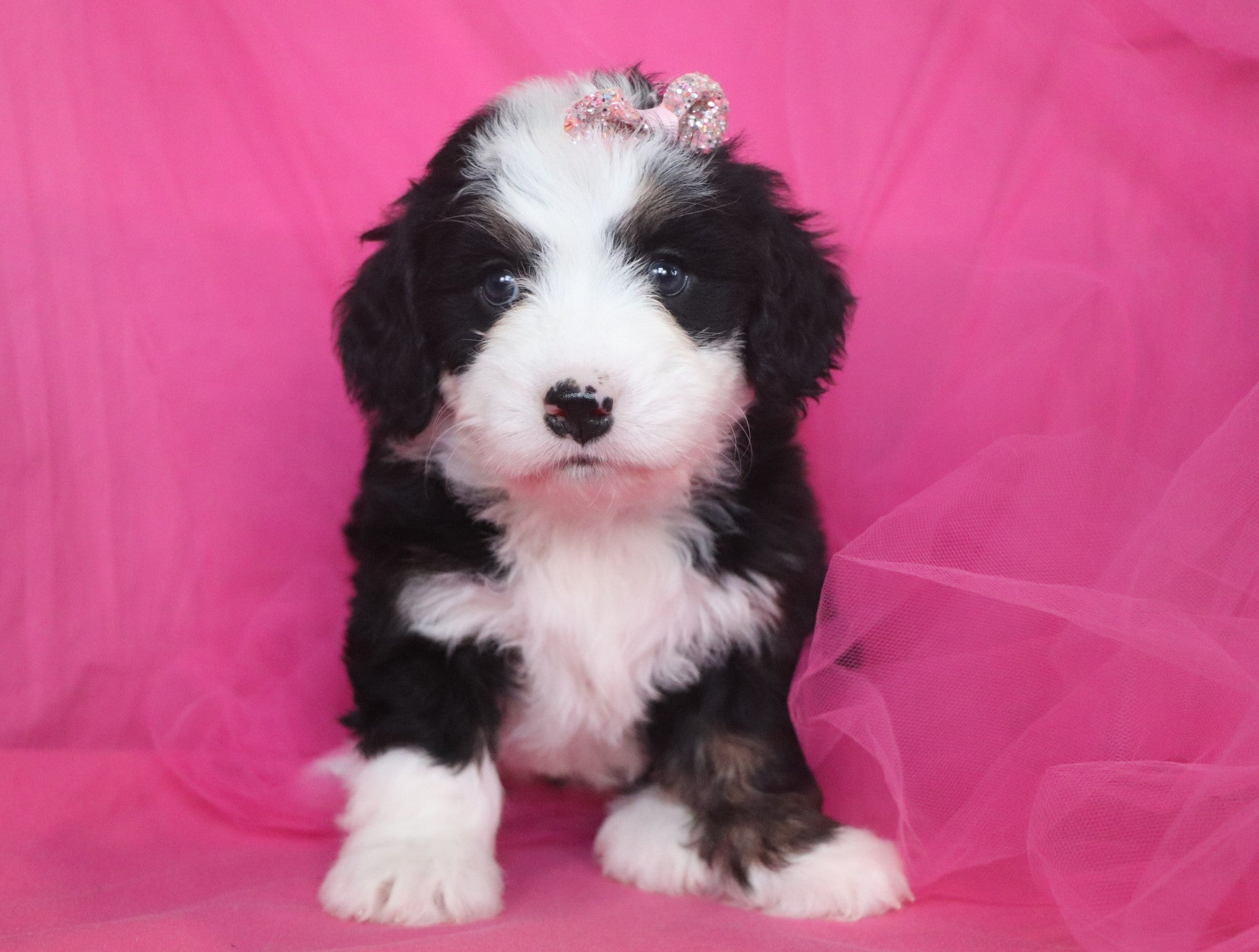 Vienna Female F2 Mini Bernedoodle Puppy