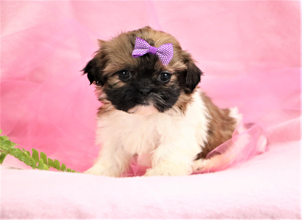 Zoey Female Shih Tzu Puppy*