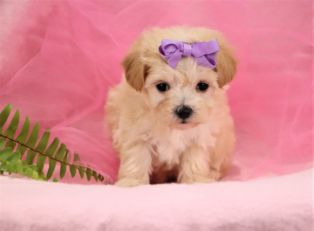 Jodie Female Teacup Maltipoo Puppy*