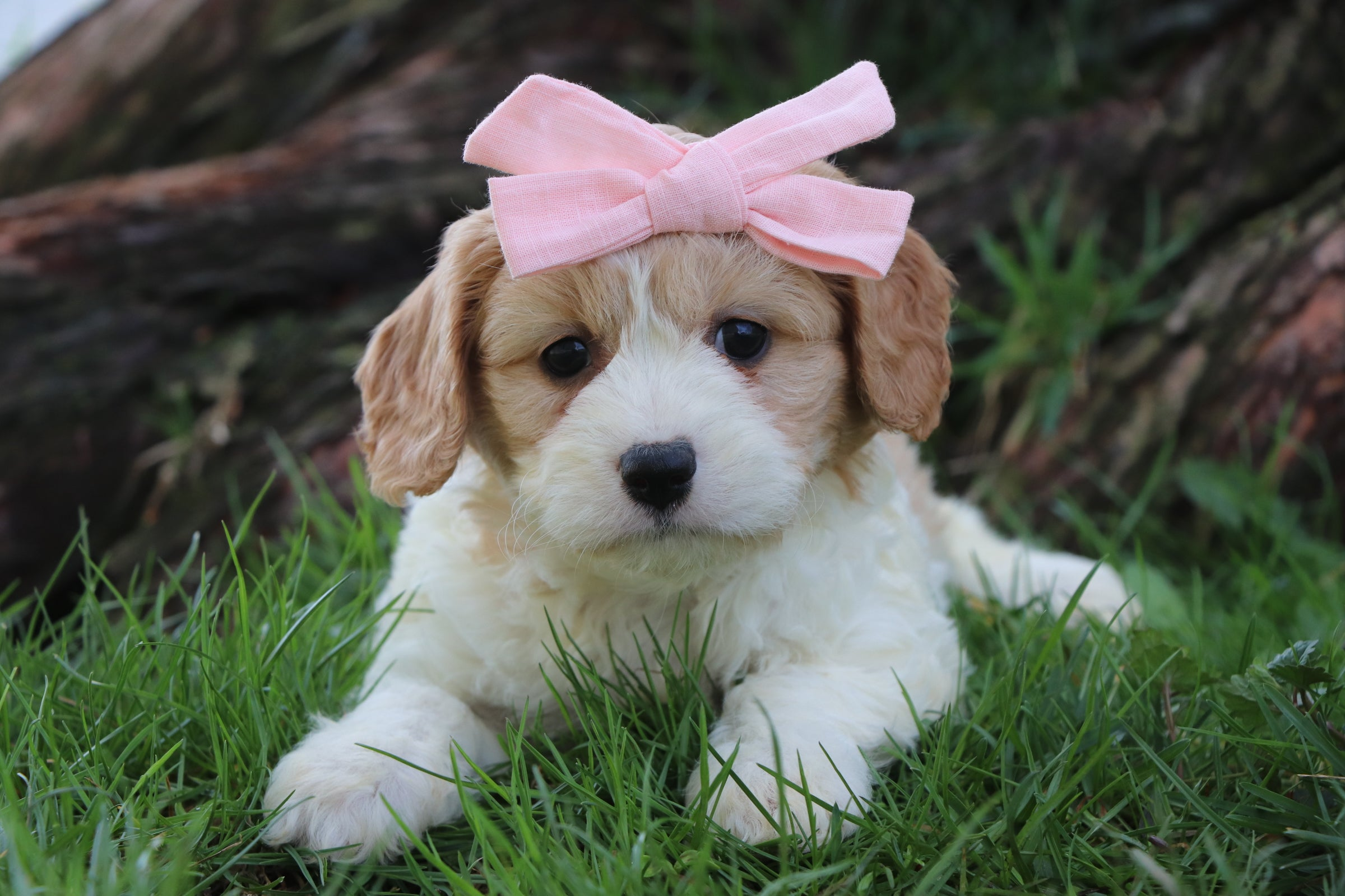 *RESERVED* Latte Female Cavachon Puppy