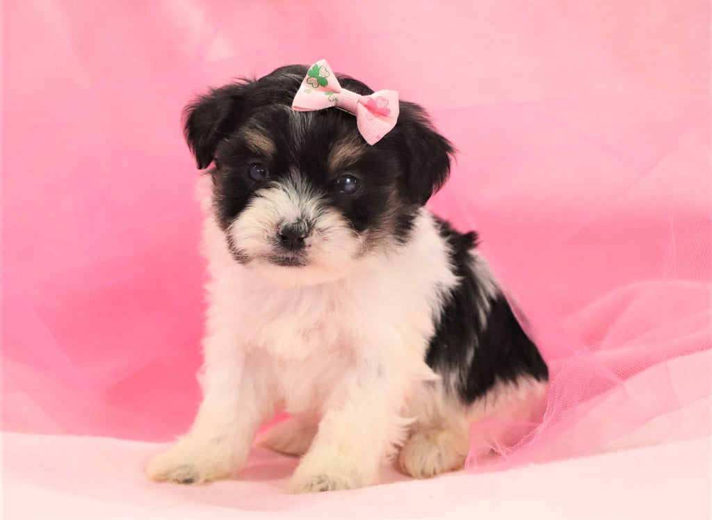 *RESERVED* Cotton Candy Female F1B Teacup Teddy Bear Puppy